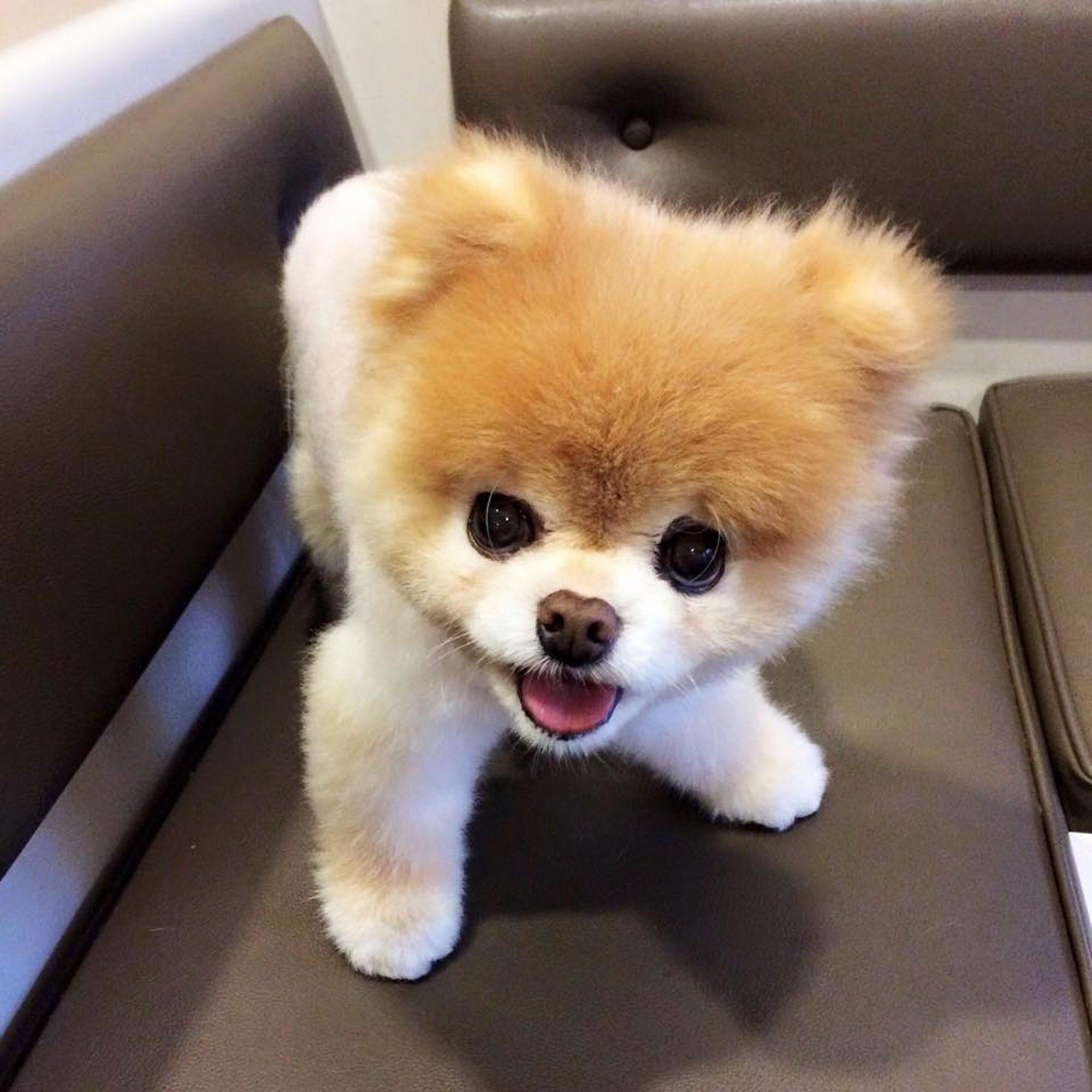 Boo The Pomeranian Once Named The World S Cutest Dog Dies People Com