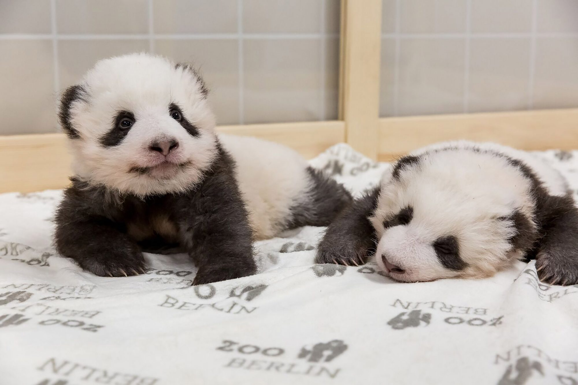 Berlin Zoo Releases New Photos Of Baby Panda Twins People Com