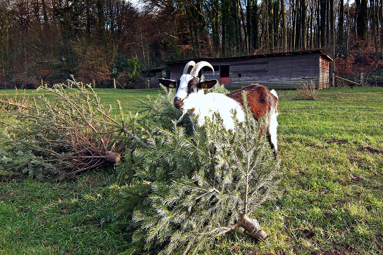 Recycle Old Christmas Trees To Goats And Farms People Com