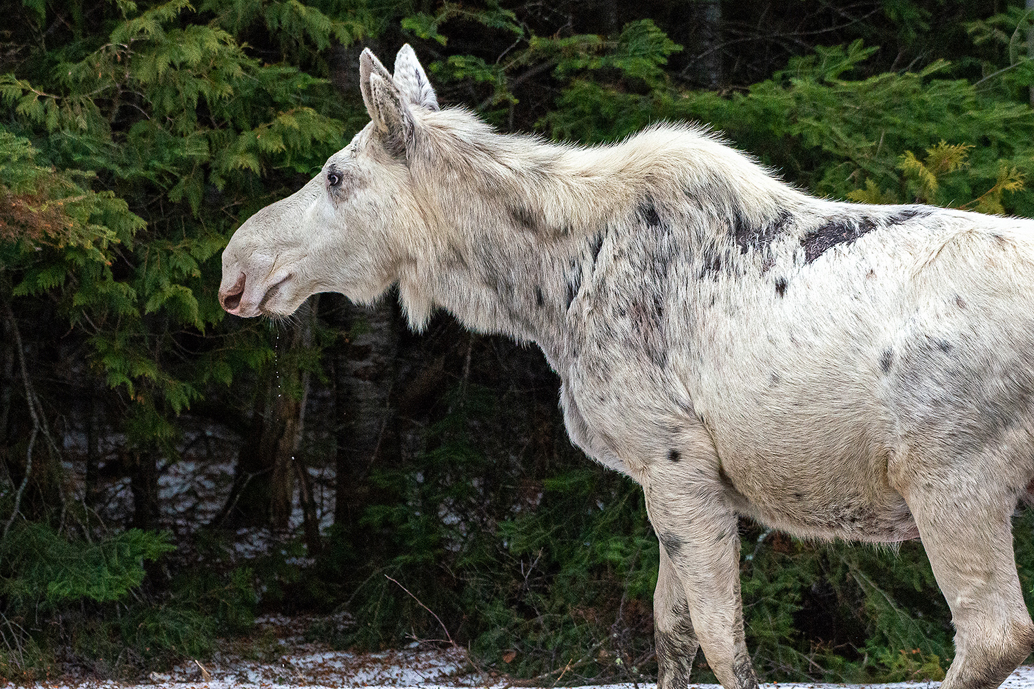 Canadians Outraged After Shooting Of White Spirit Moose People Com