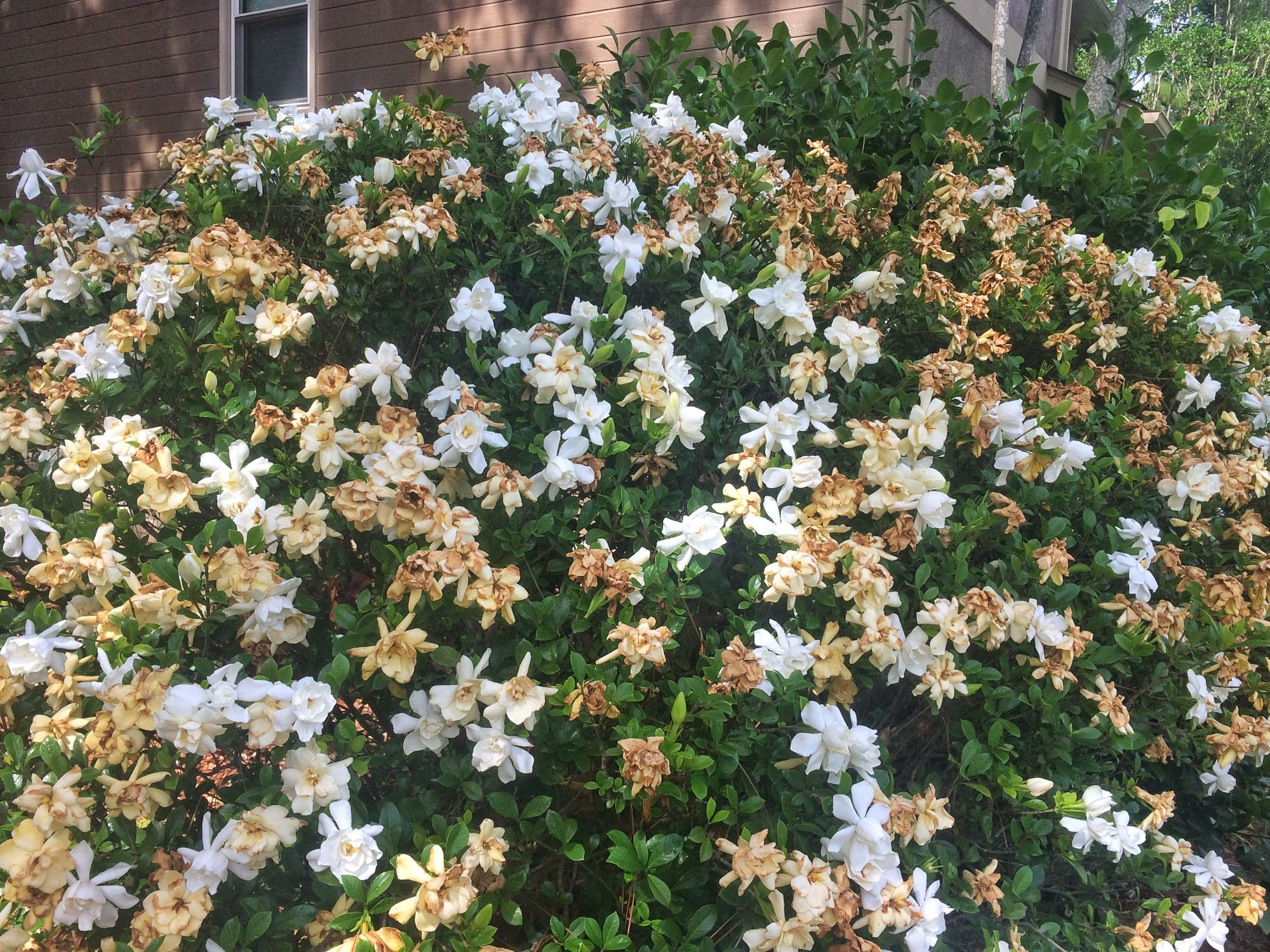 The Worst Place For Your Gardenia Southern Living