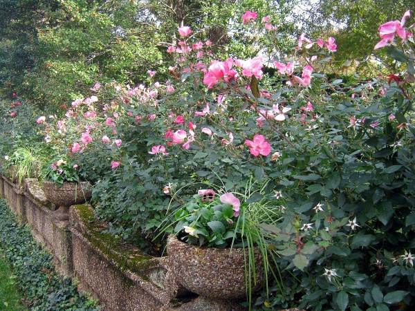 How To Prune Knock Out Rose Southern Living