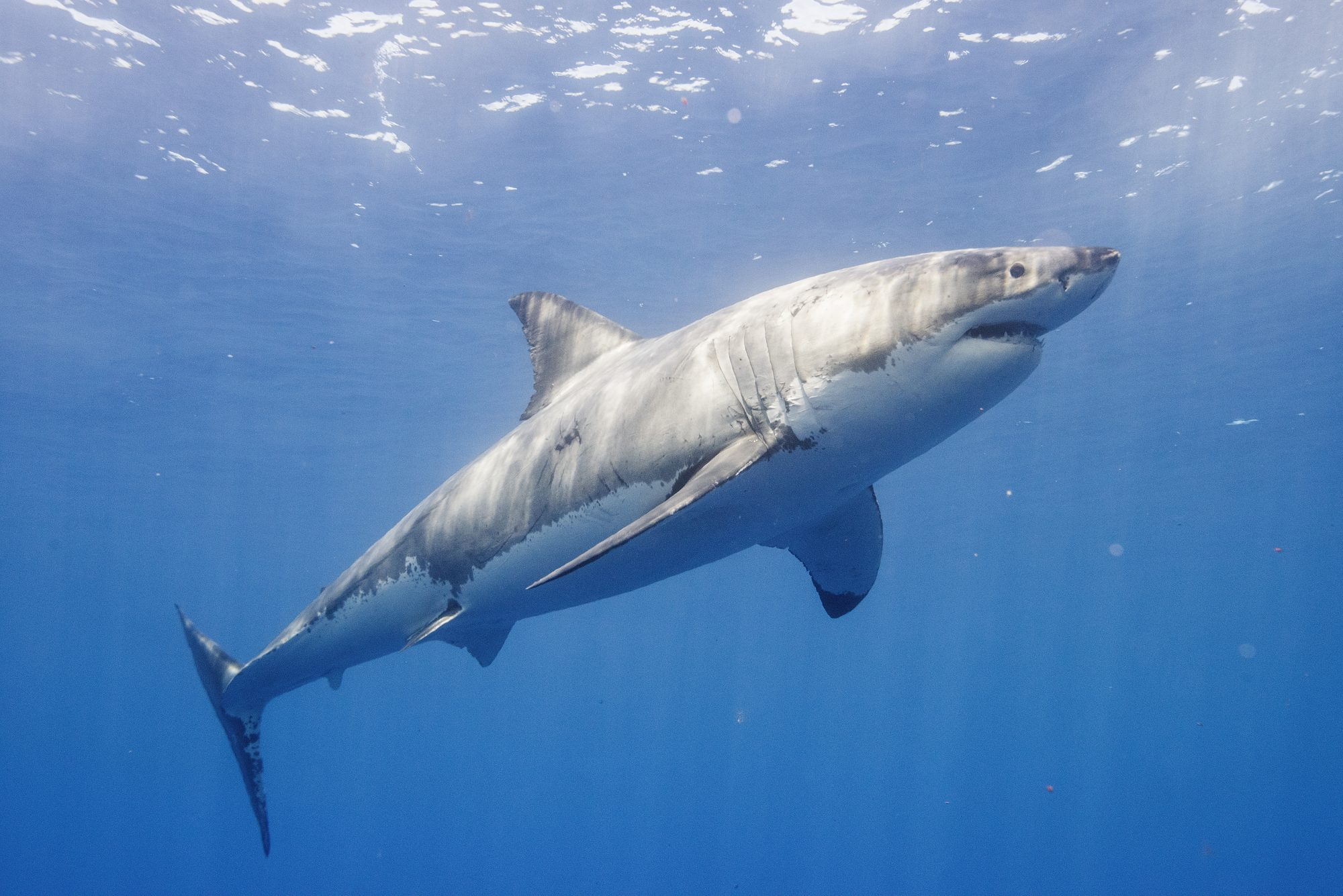 Amy The Great White Shark Returning To Outer Banks Southern Living