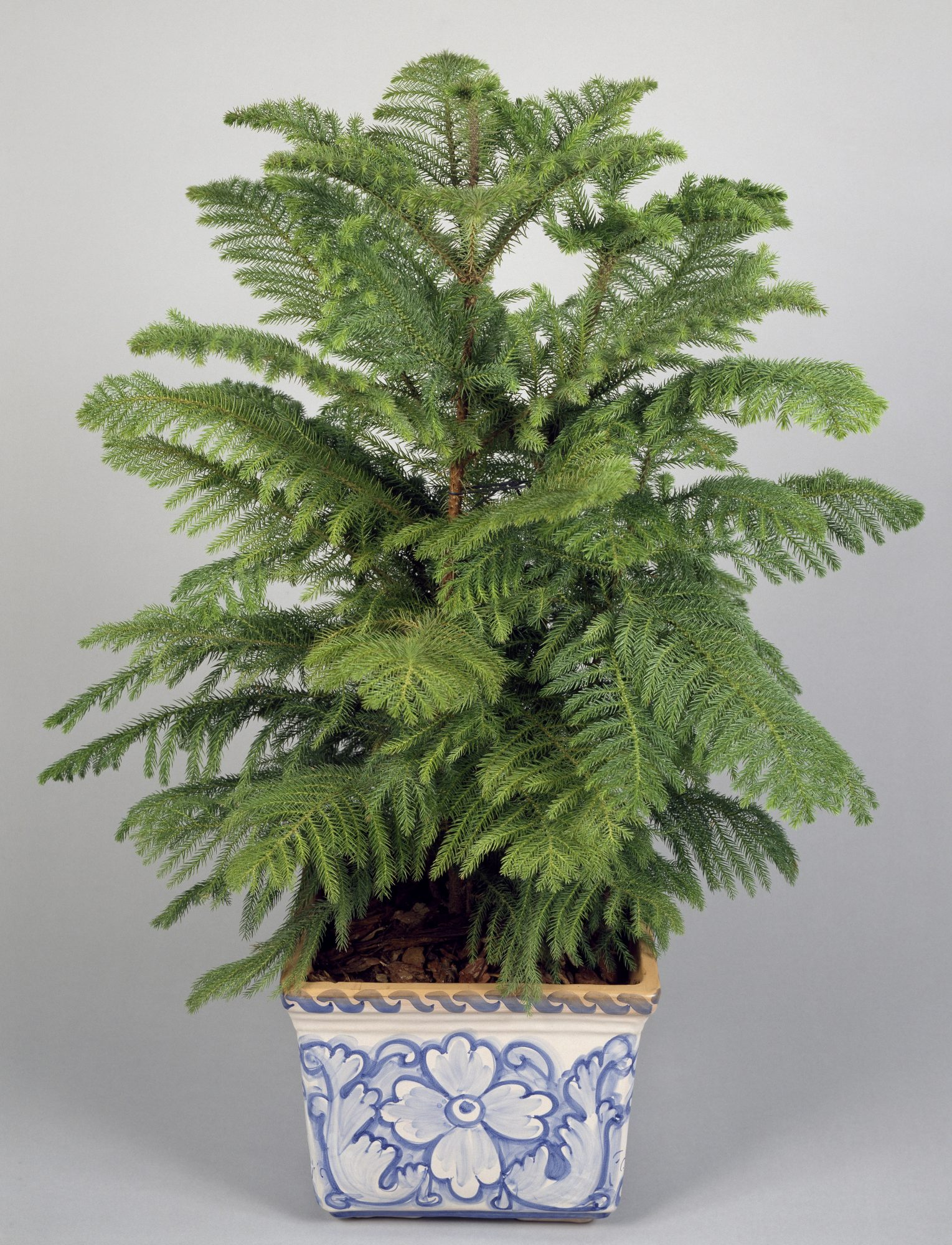Dealing With Your Ginormous Norfolk Island Pine   Southern ... on norfolk pine plant, norfolk pine growth rate, norfolk pine care, norfolk pine watering,