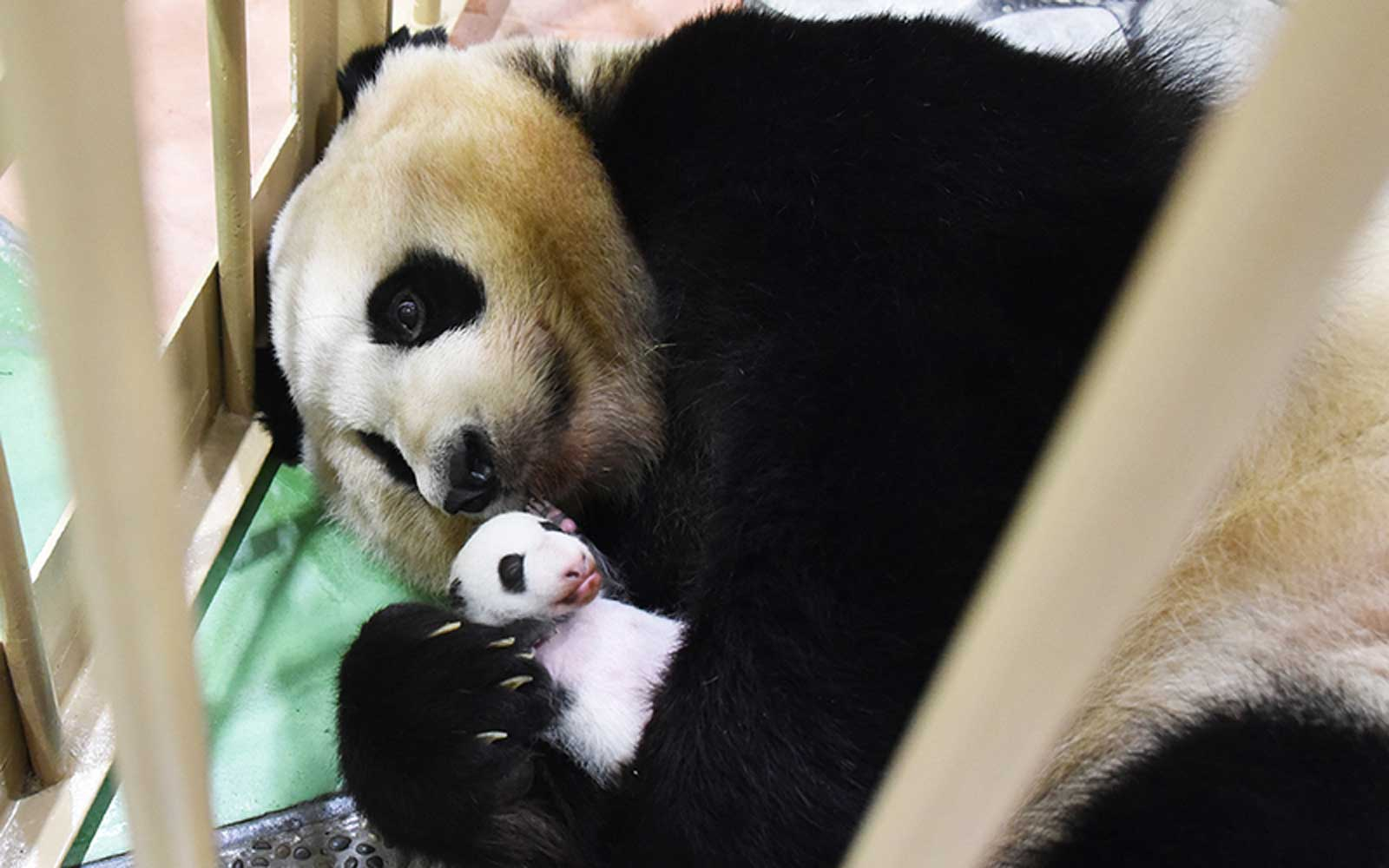 Japan Has A New Baby Giant Panda And They Want You To Help Name It Travel Leisure