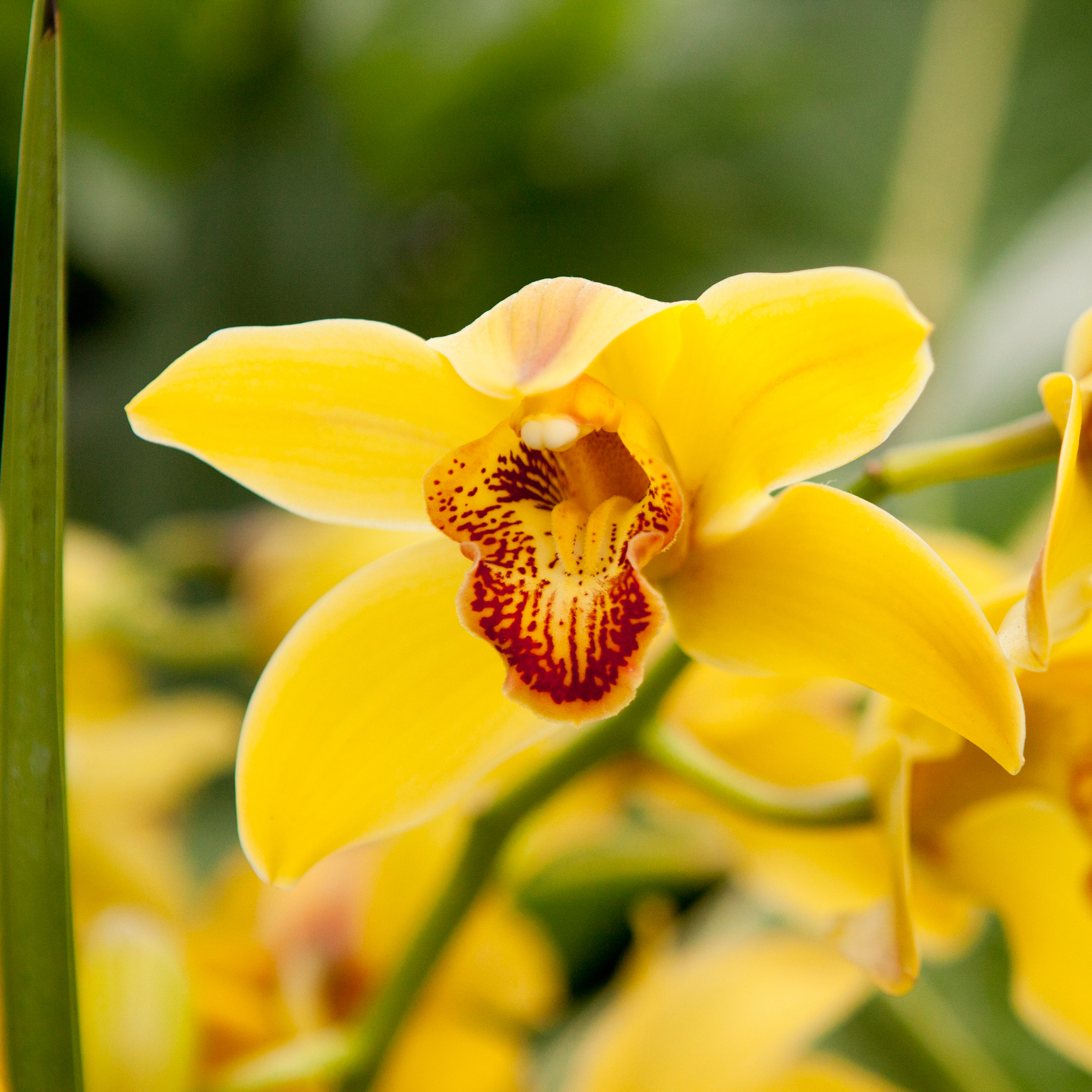 Breeds Of Orchids: Eleletsitz: Types Of Yellow Orchids Images