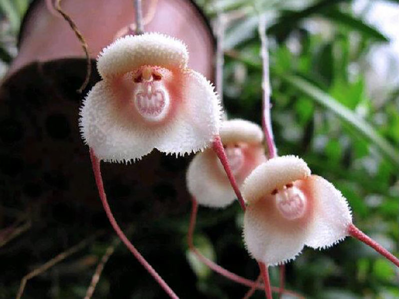 tales from the greenhouse Dracula-monkey-orchid-2-0718