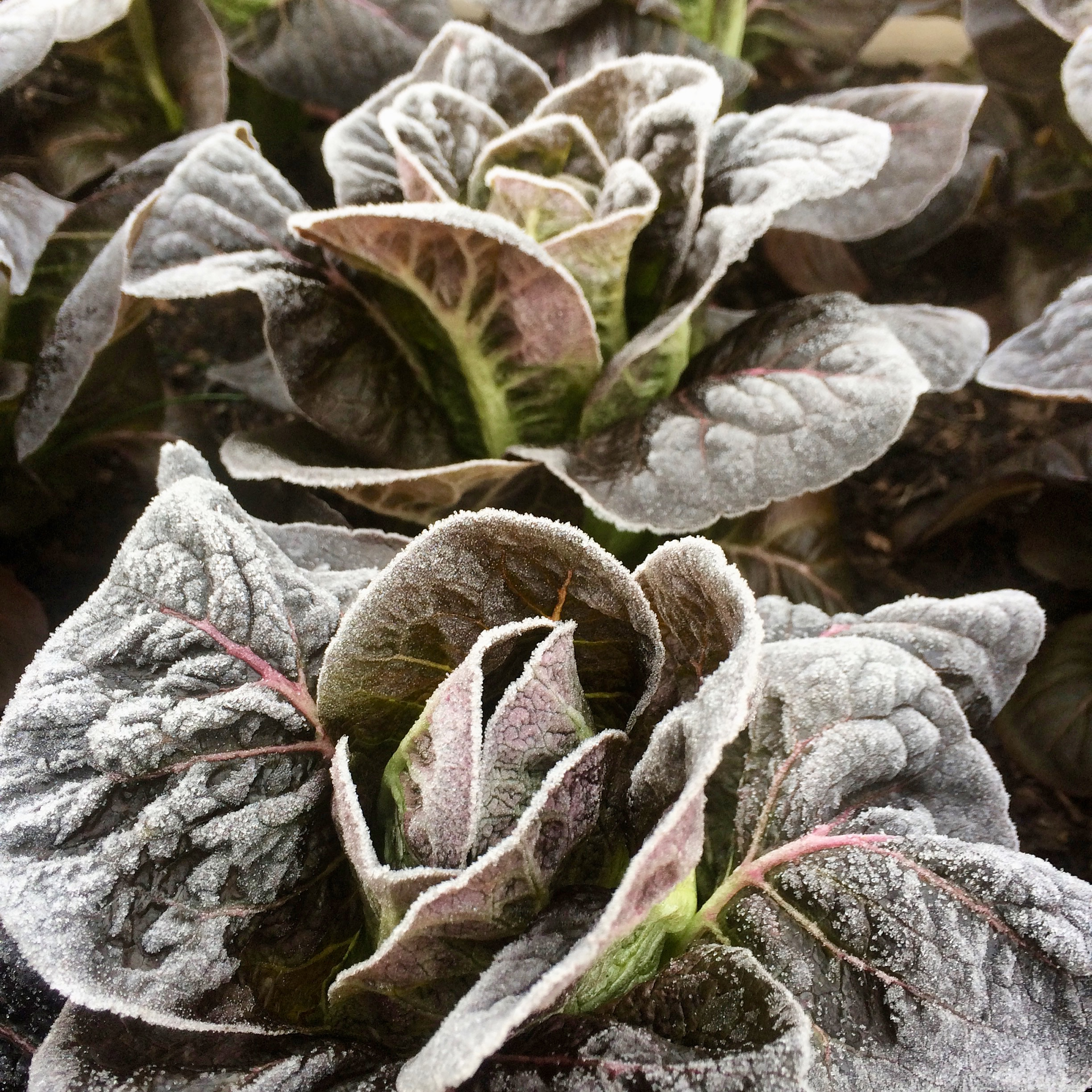 First Frost: Growing Vegetables in the Cold