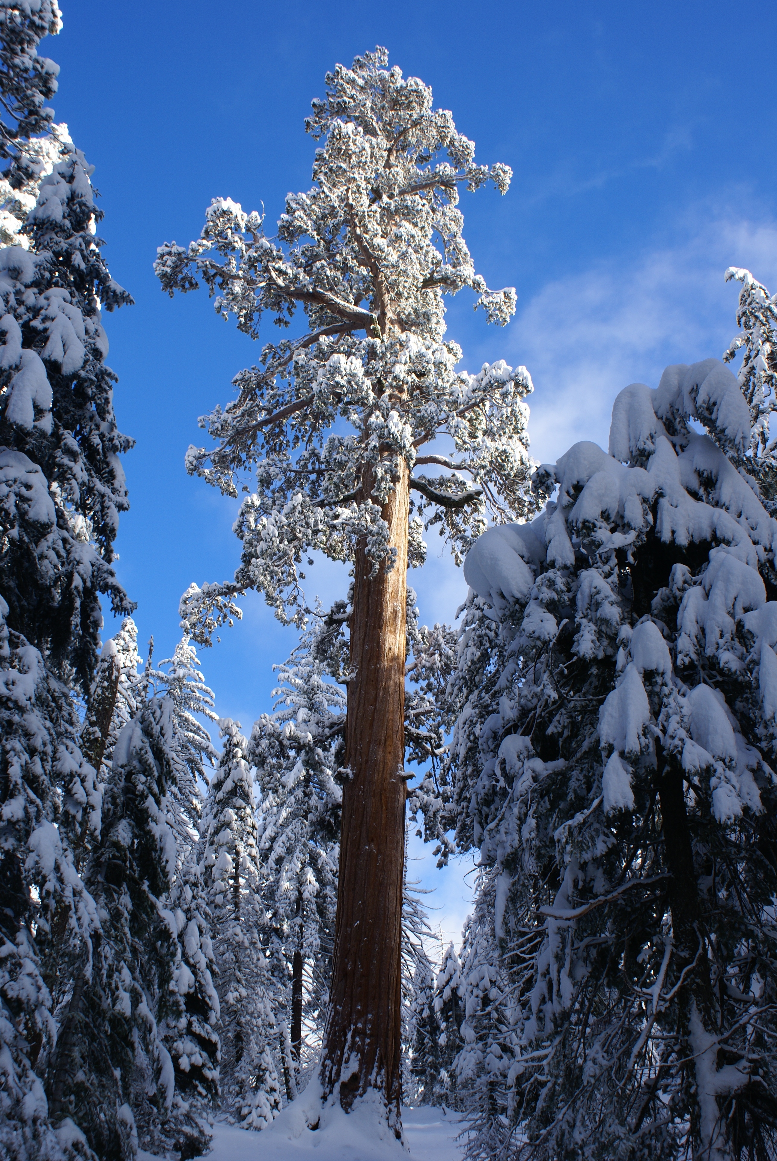 Visit the General Grant Tree: A Living Sequoia Called the  Nation's Christmas Tree
