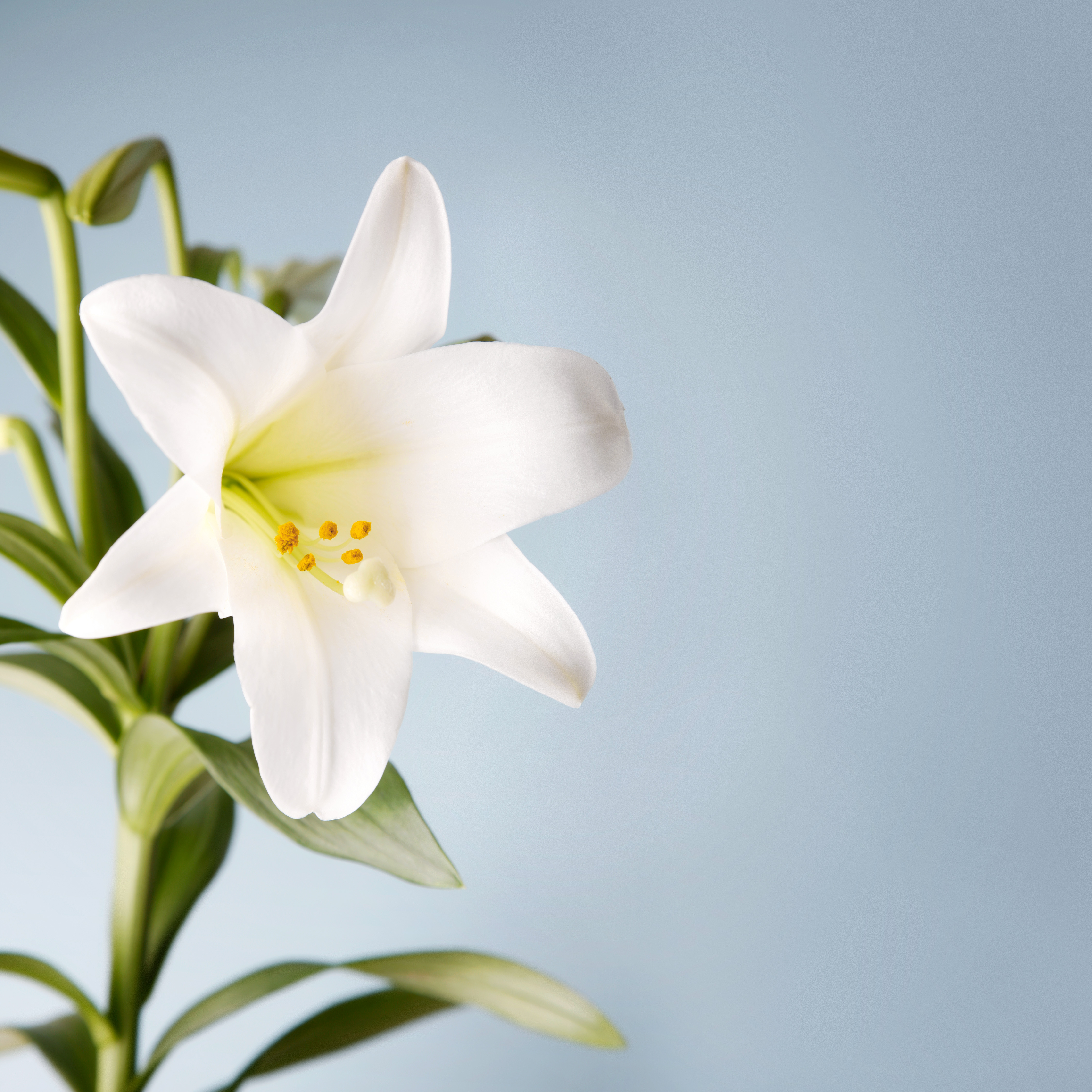 How to Care for Your Easter Lily
