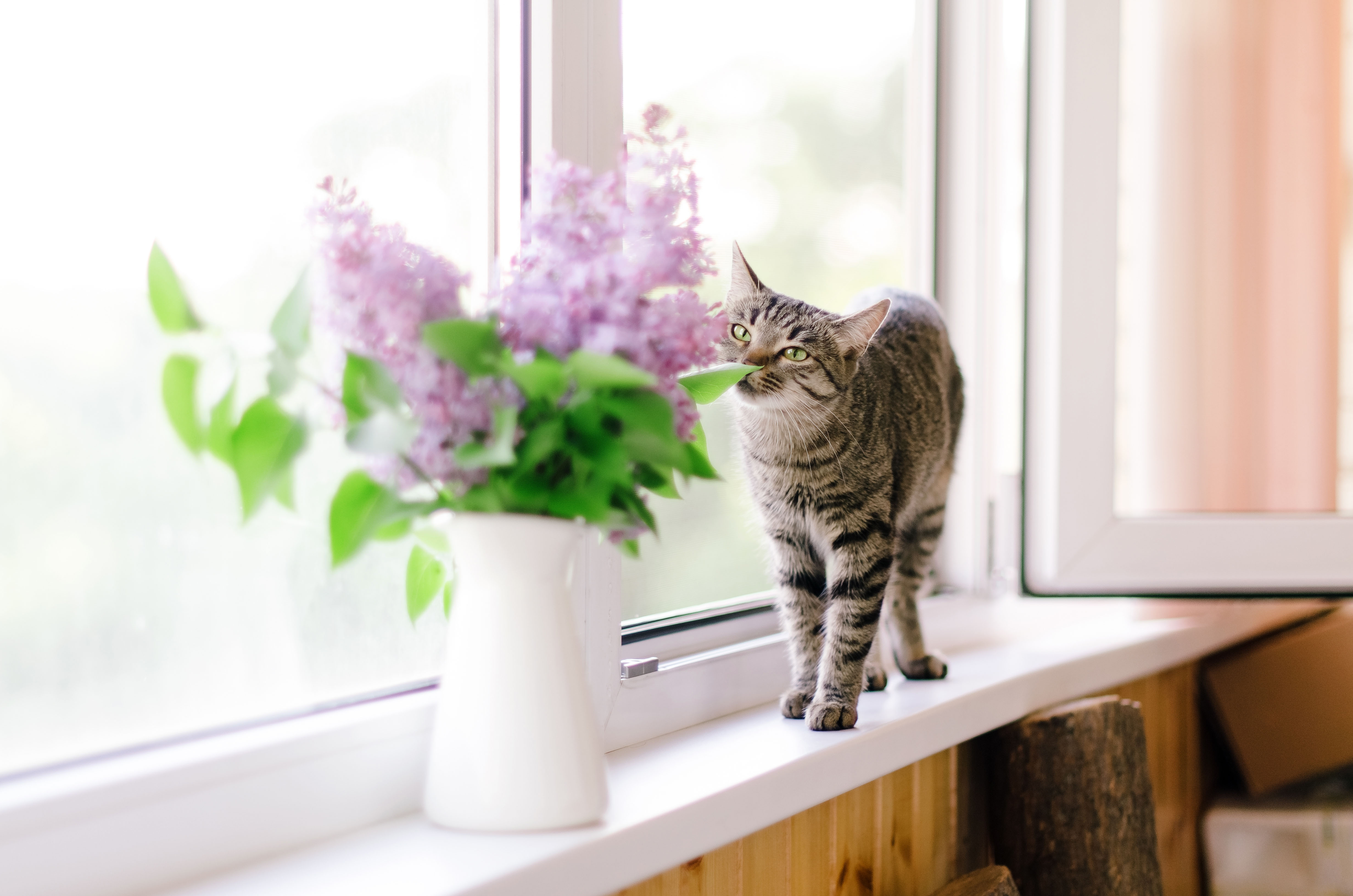 cat smelling lilacs window seal