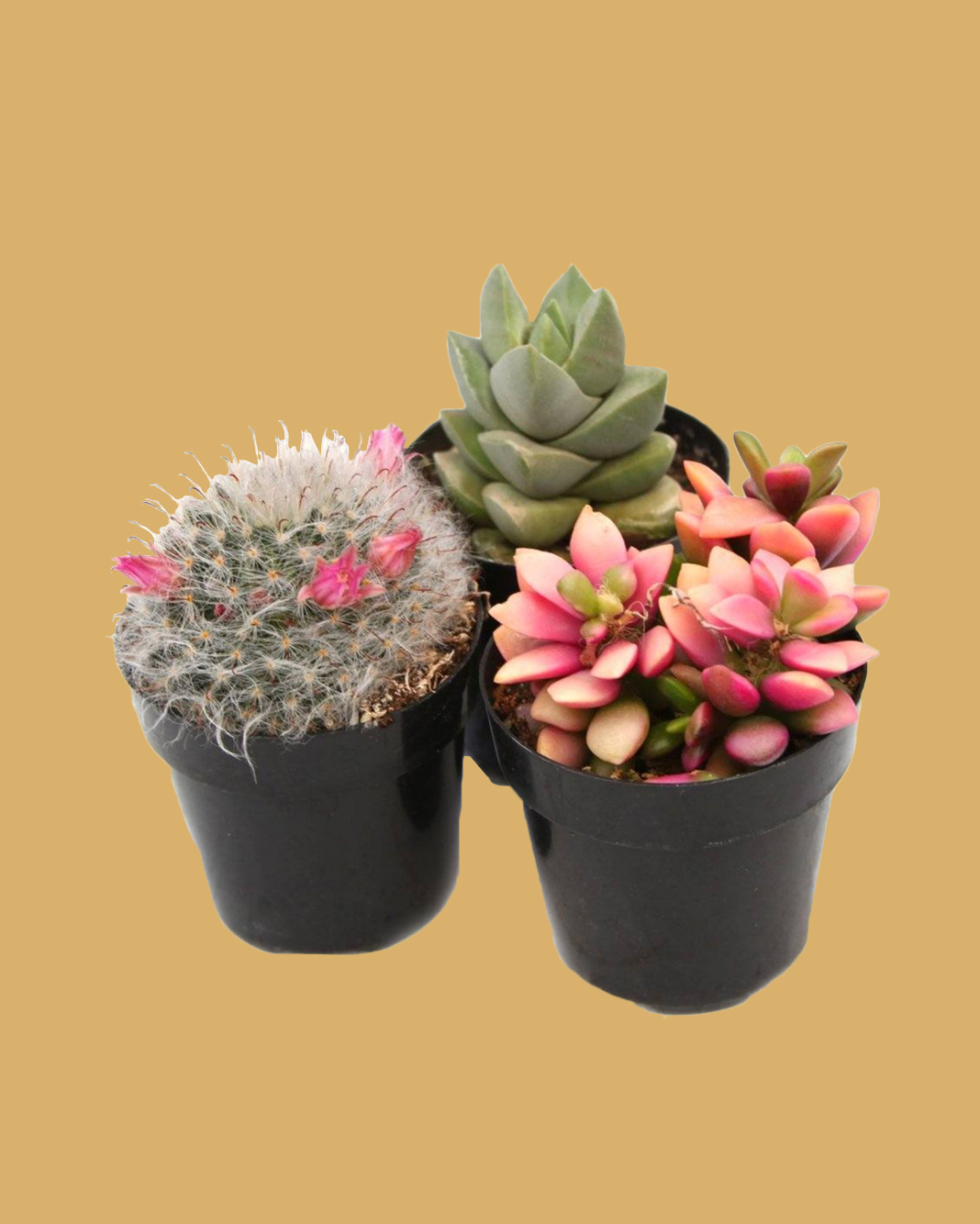 two succulents and a cactus in black containers