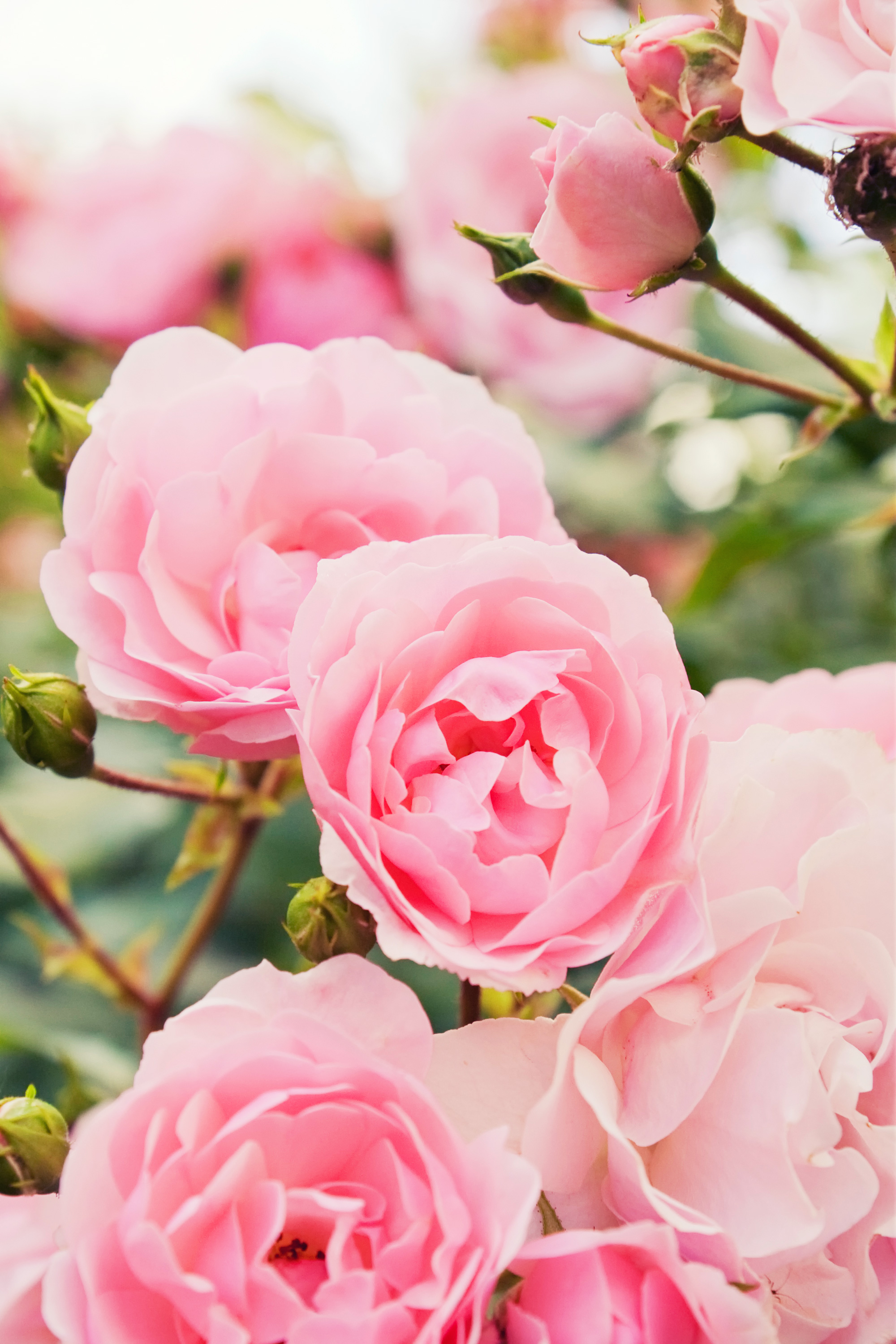 How to Choose the Right Type of Garden Rose for Your Yard