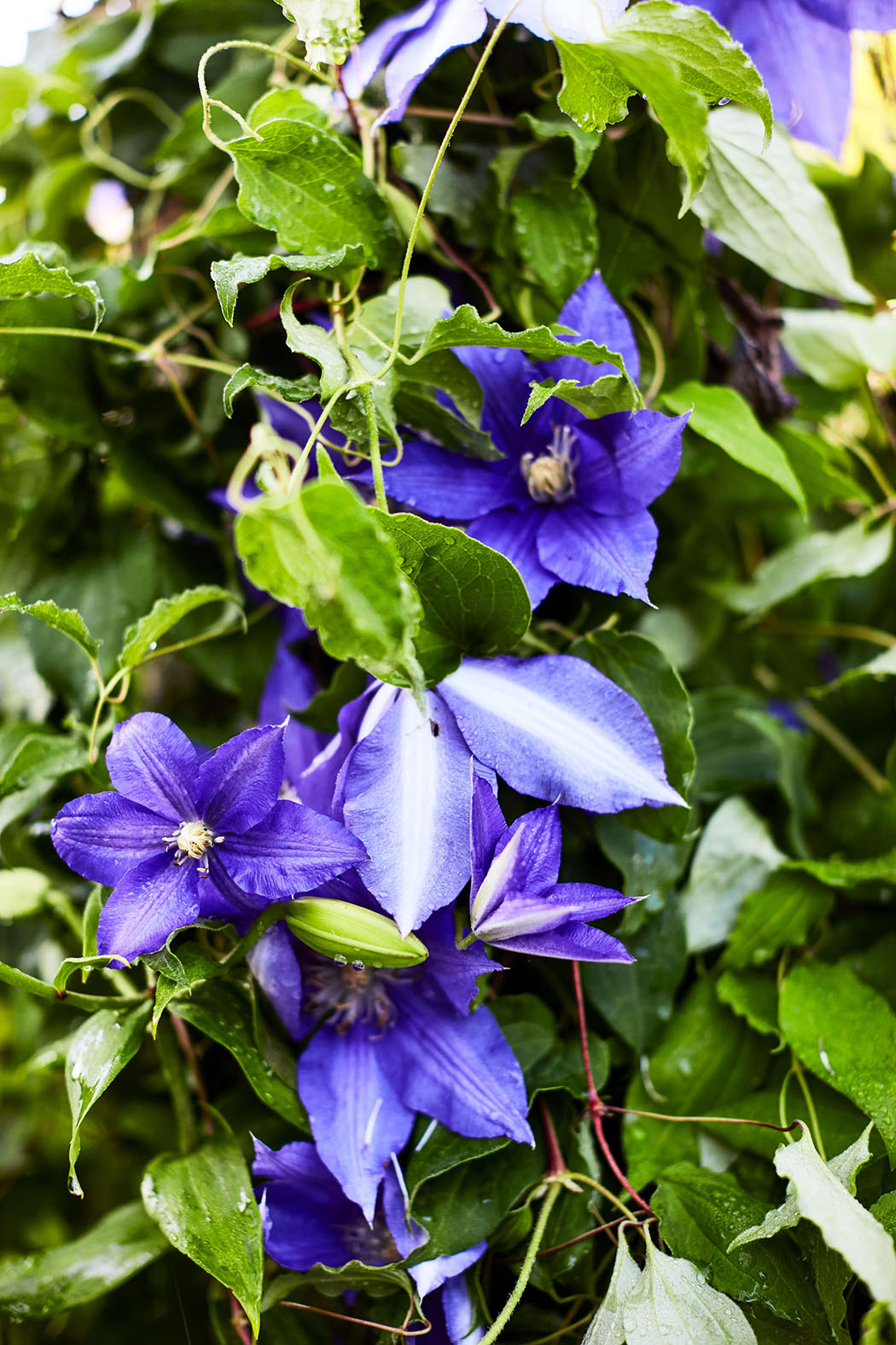 Clematis for Color