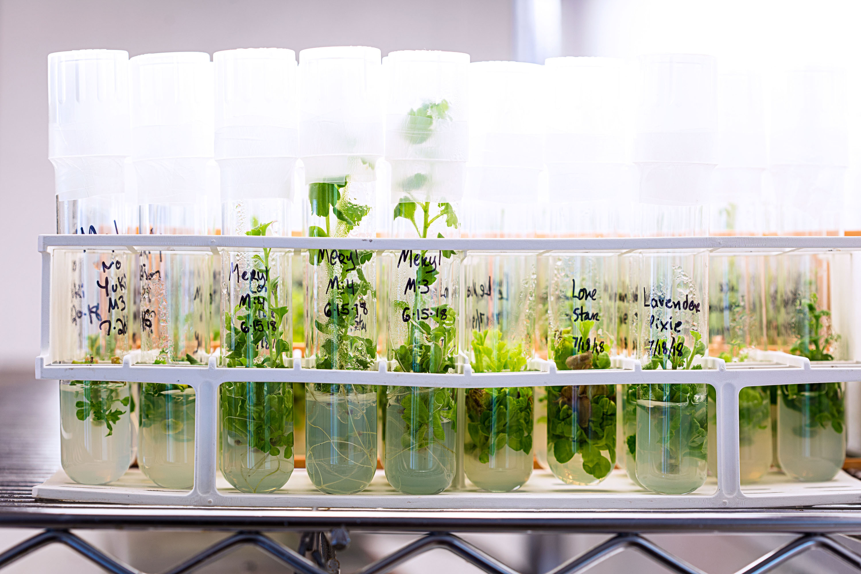 rare Japanese and Chinese cultivars in test tubes