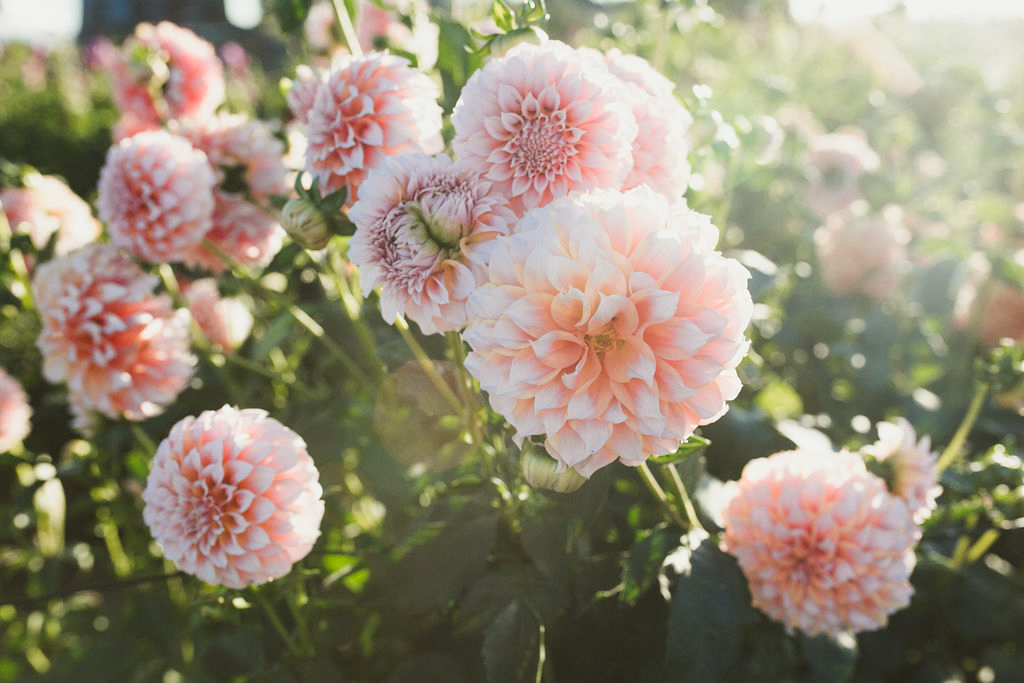 How to Plant and Care for Dahlias