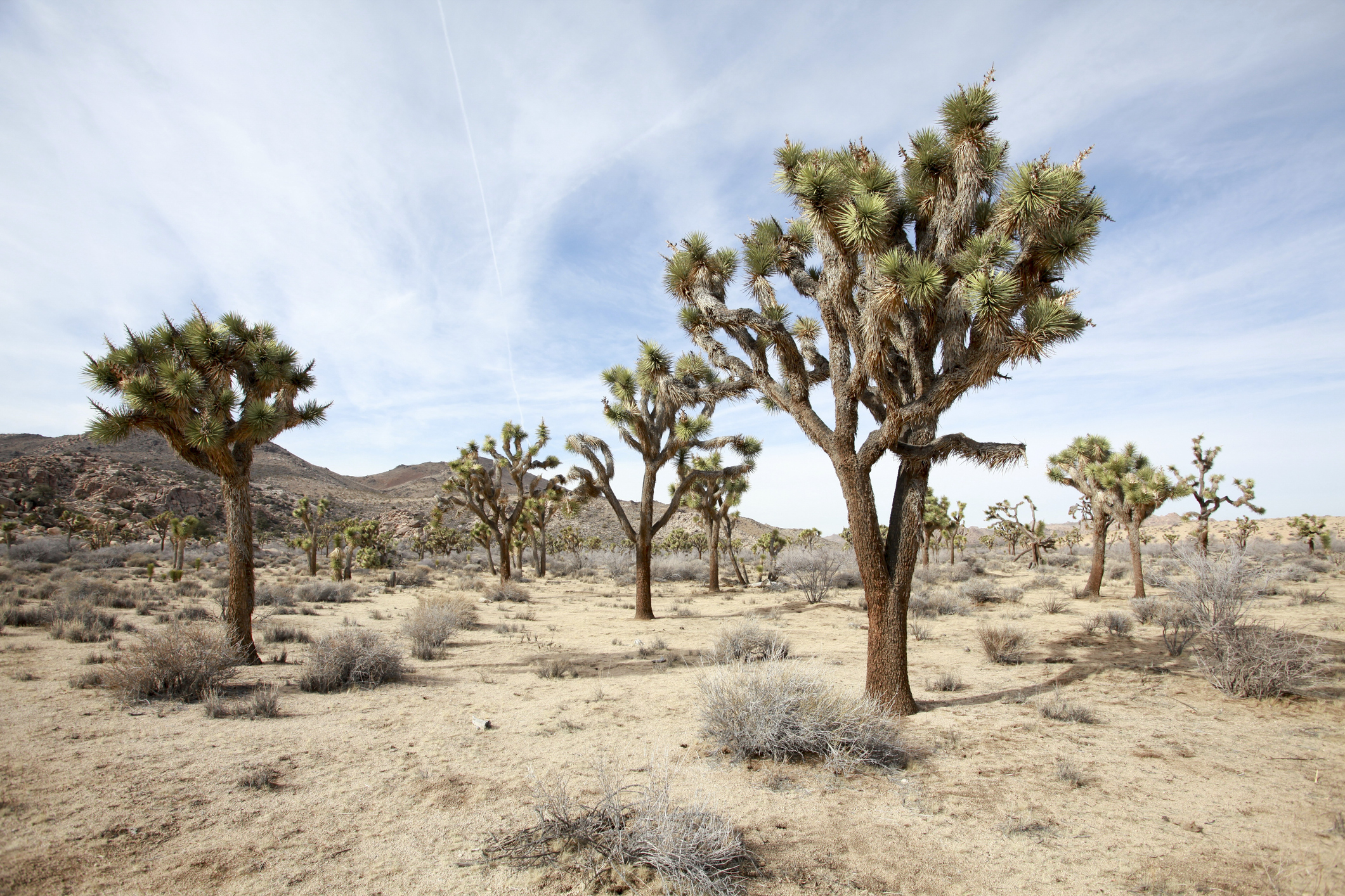 Scientists Say Joshua Trees Could Be Depleted by 2070 Due to Climate Change