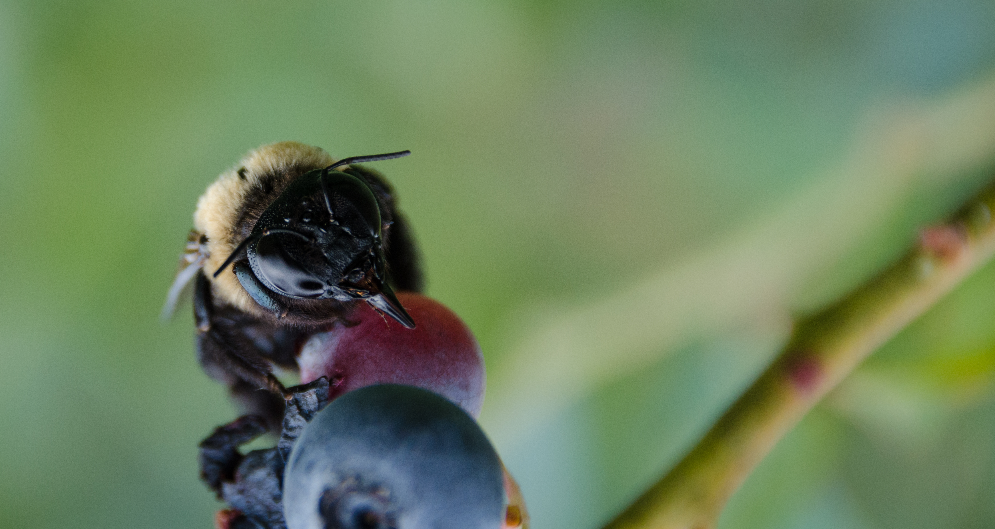 Bee on blueberry