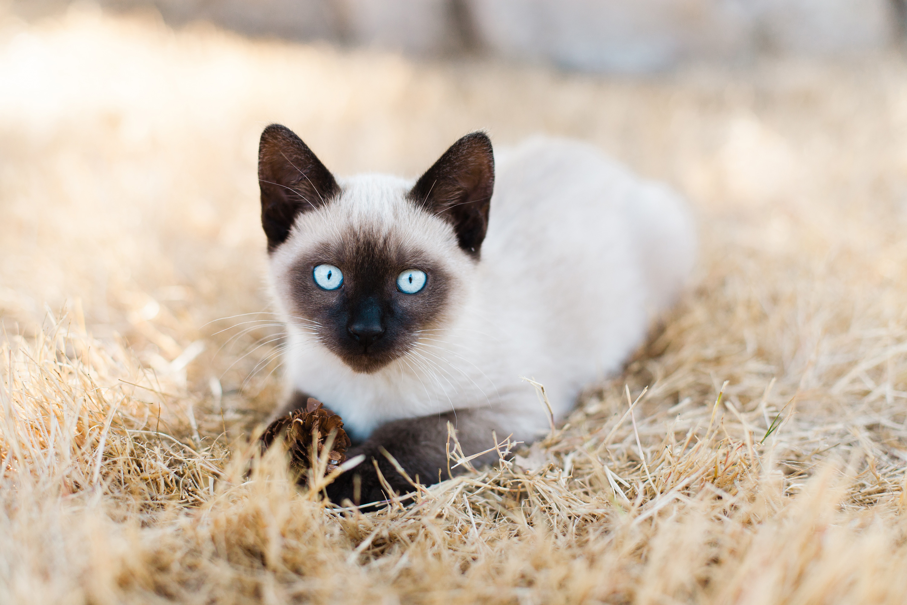 Siamese cat laying on a bed of straw