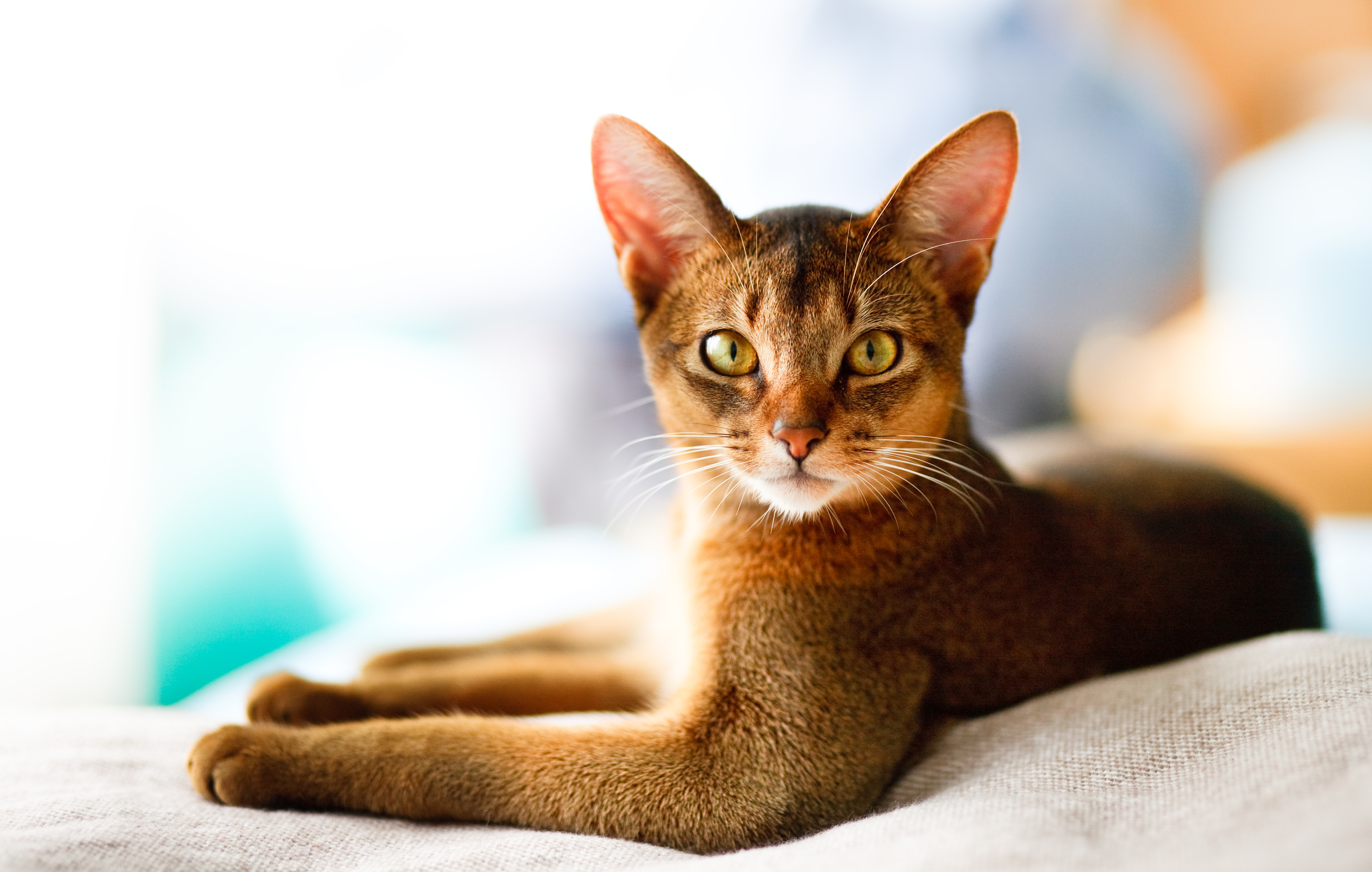 Abyssinian cat on staircase