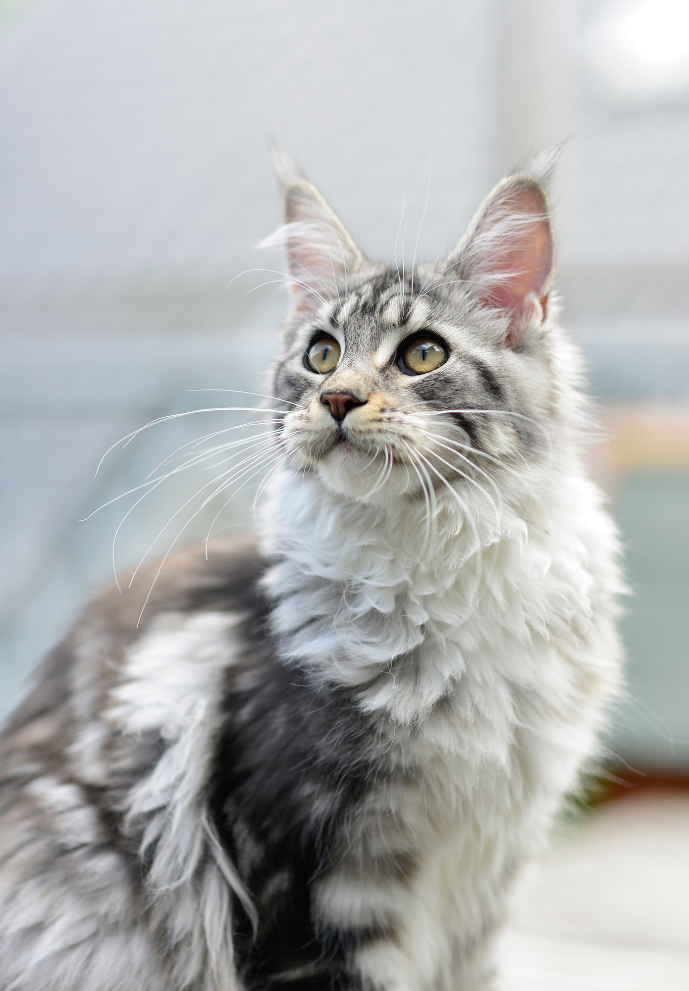 Maine Coon Cat Sitting on a Carpet