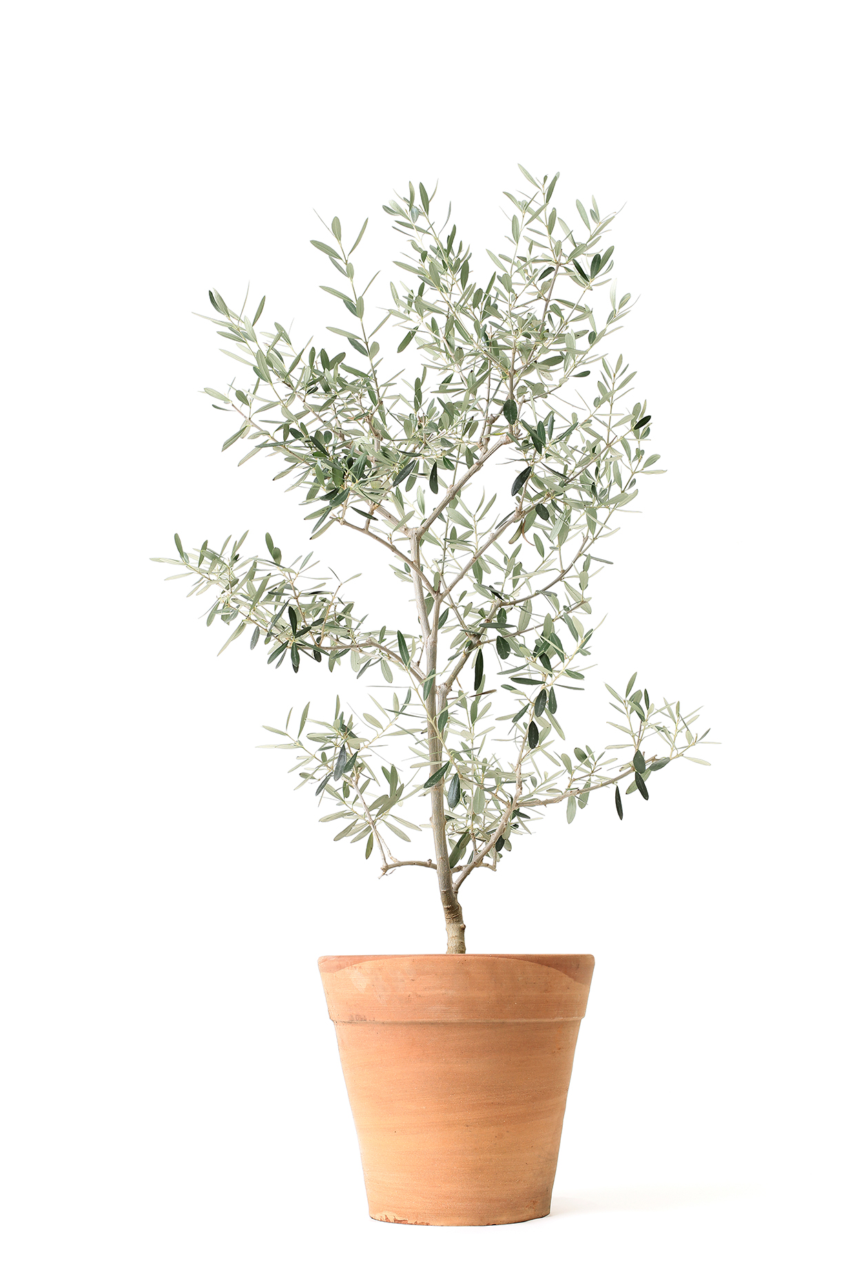 Move Over Fiddle Leaf Fig! Here's Why the Olive Tree Is Our New Favorite Houseplant