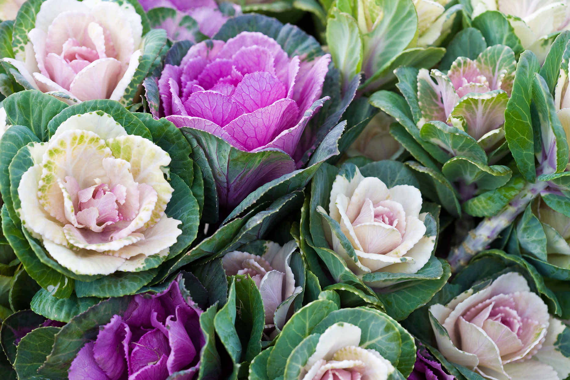 ornamental purple and pink cabbage