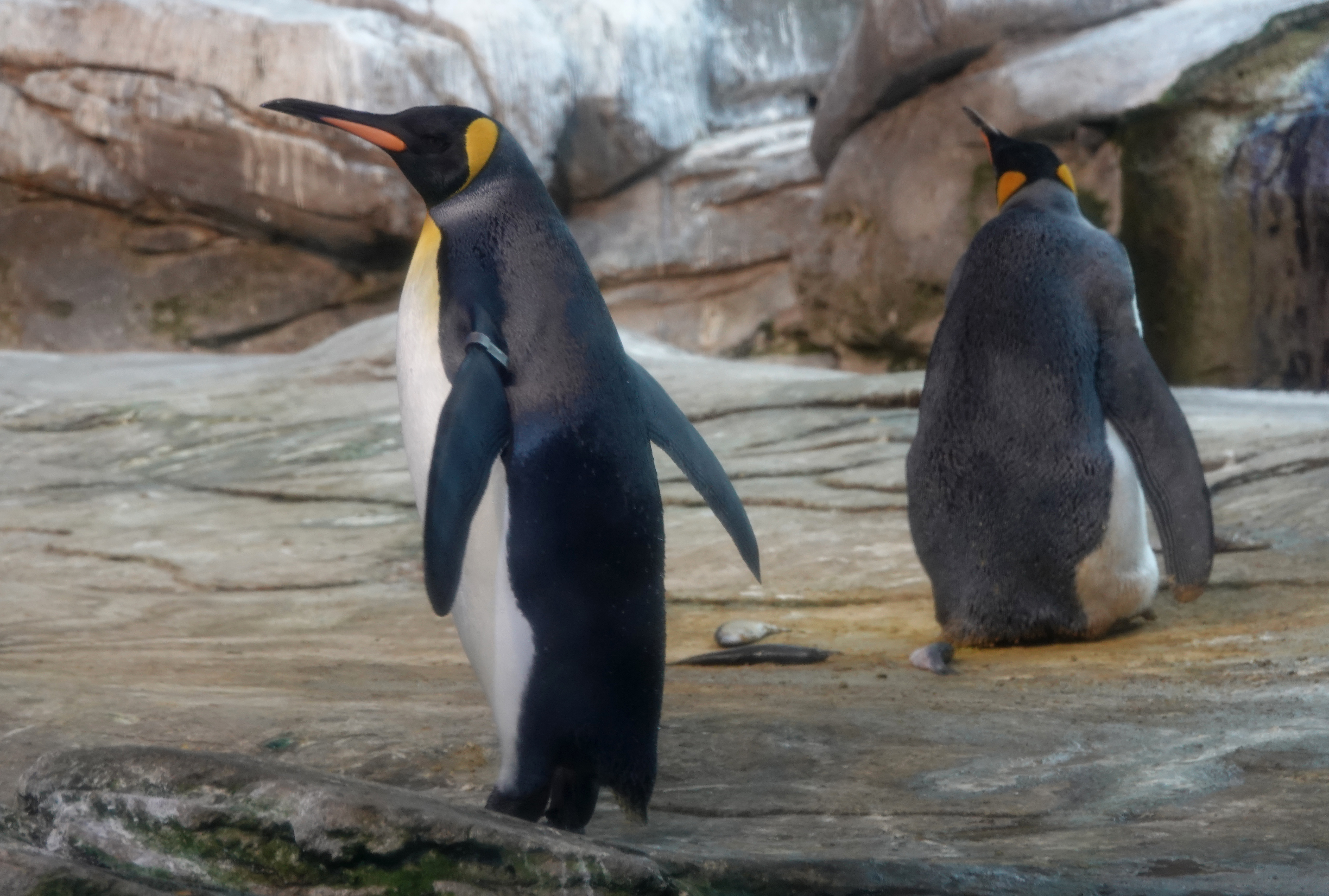 A Same-Sex Penguin Couple Just Adopted an Abandoned Egg at a Berlin Zoo