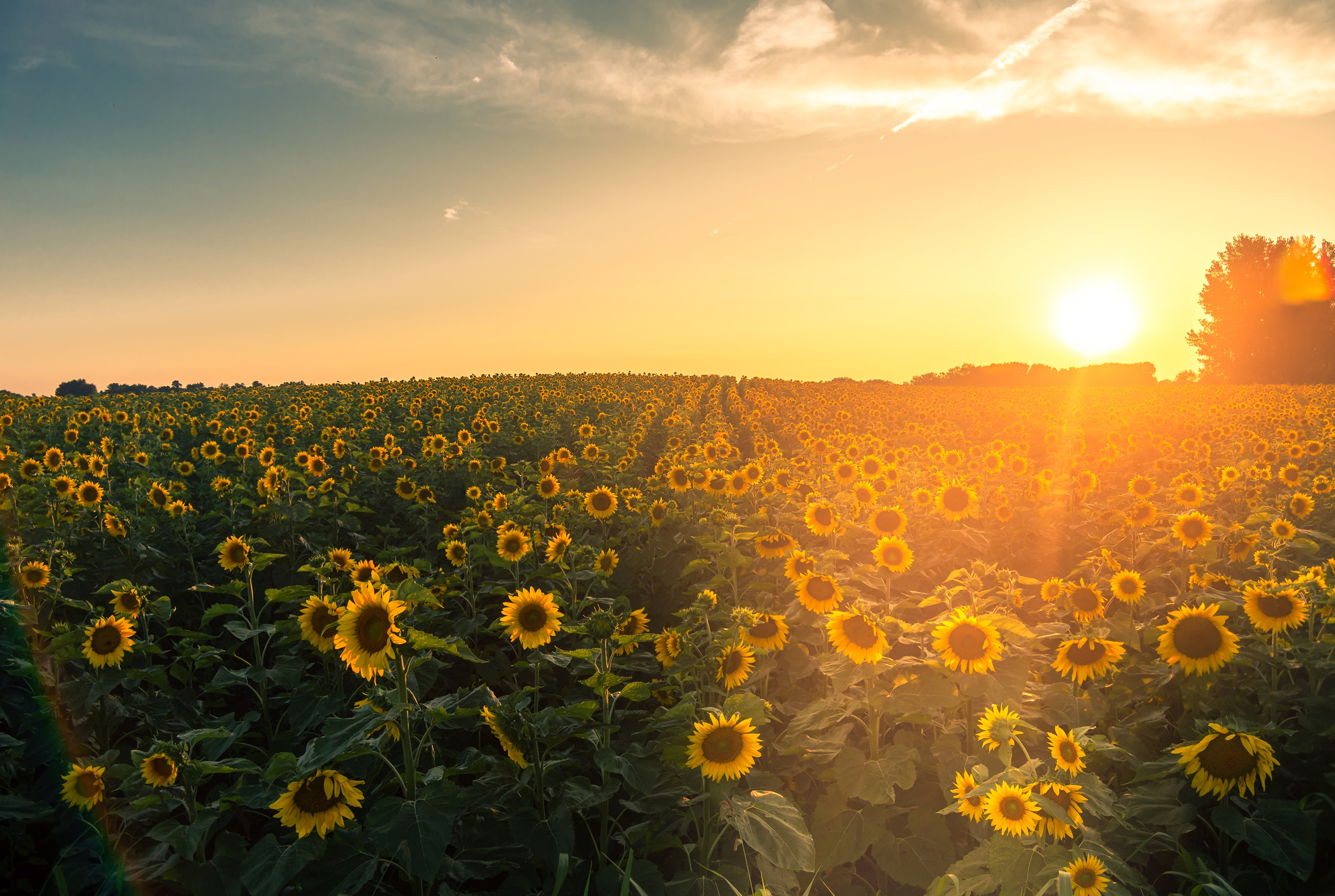 Sunflowers Are Blooming Earlier Than Ever—Here's Where You Can See Them in Their Full Glory