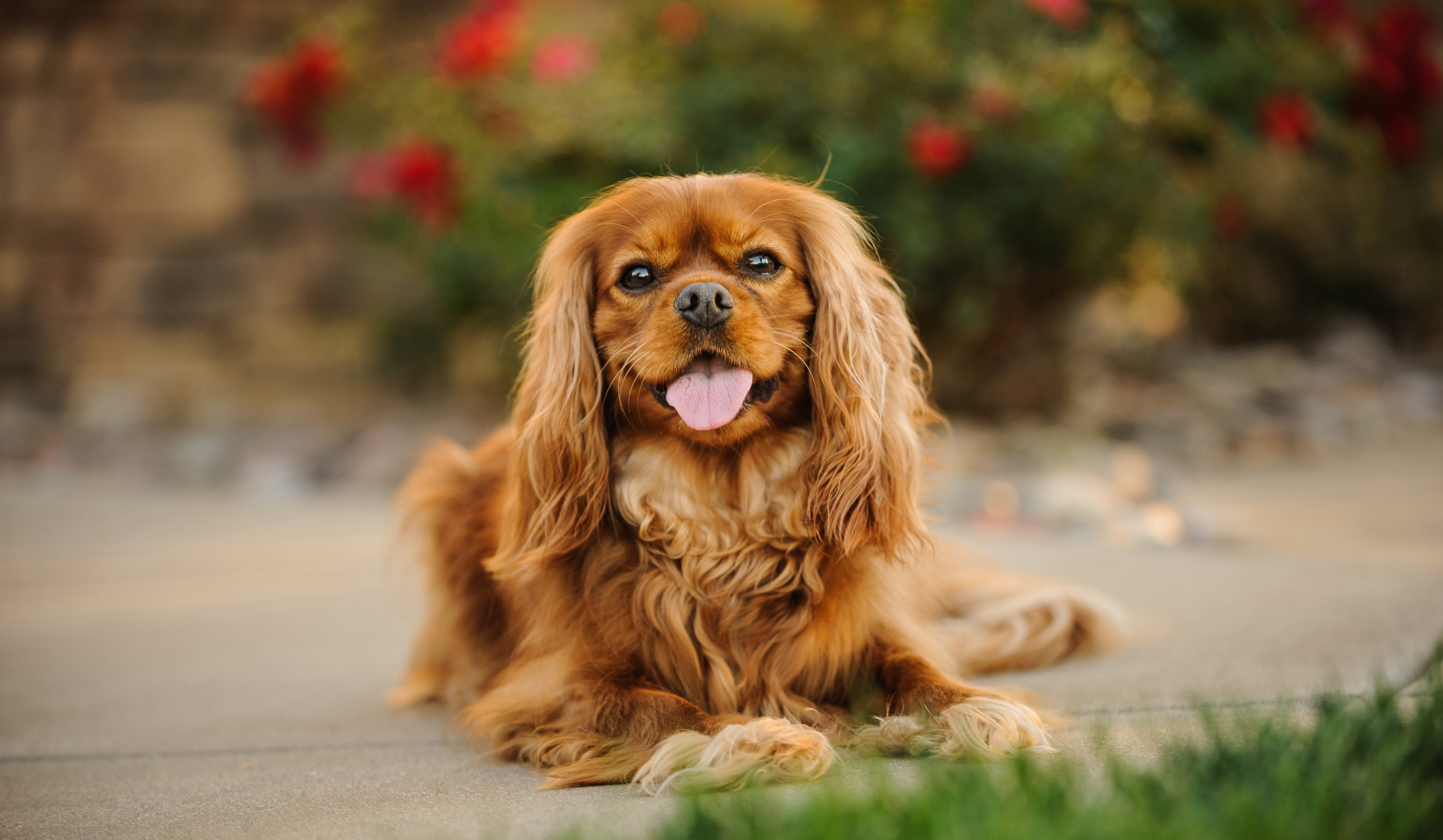 cavalier king charles spaniel dog resting on sidewalk