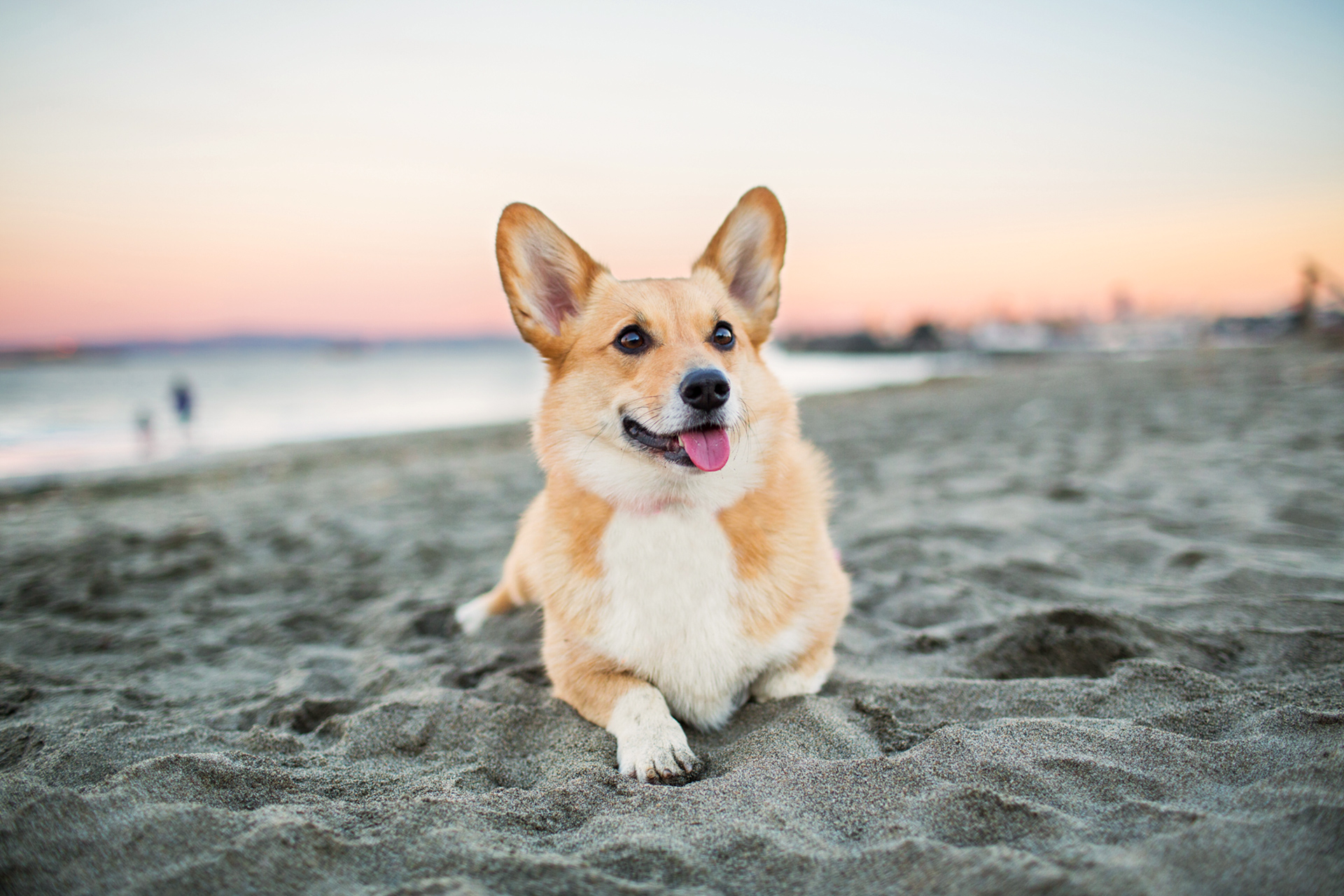corgi dog on beach at sunset