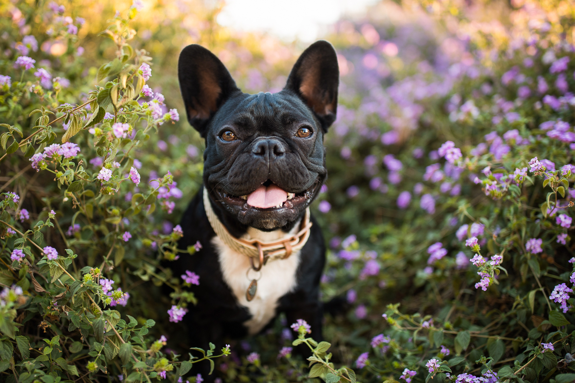black white french bulldog in flower garden