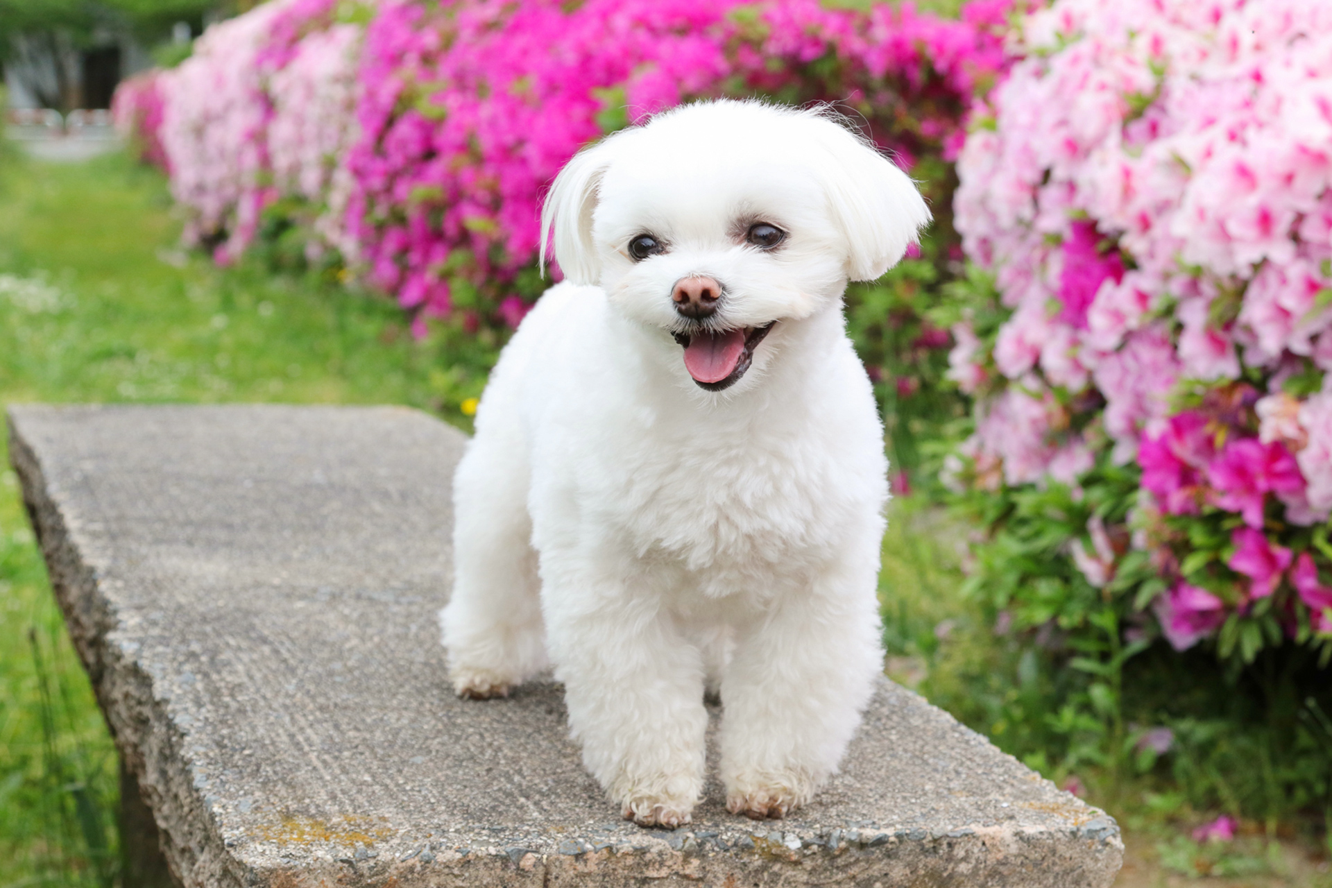 maltese dog on bench near pink flower bushes