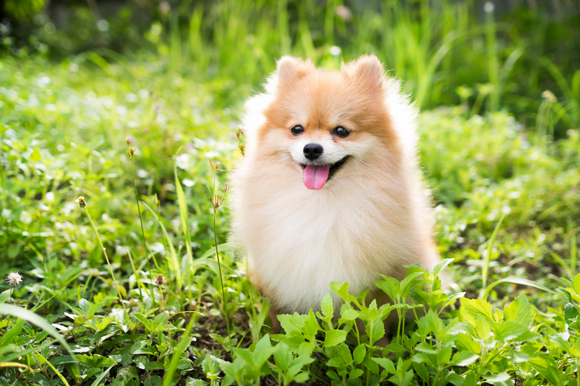 pomeranian dog sitting in grass