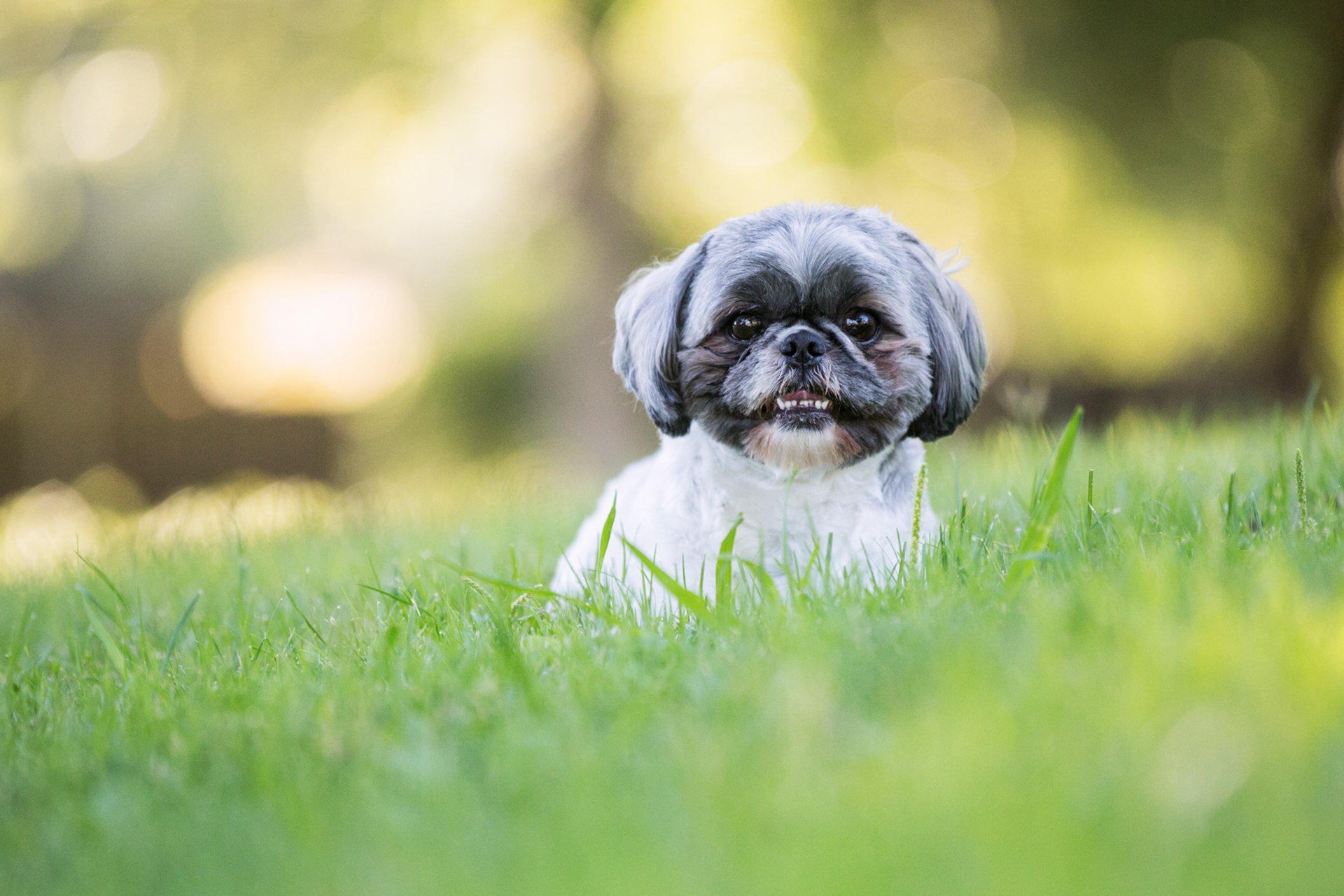tri-color shih tzu dog sitting in grass