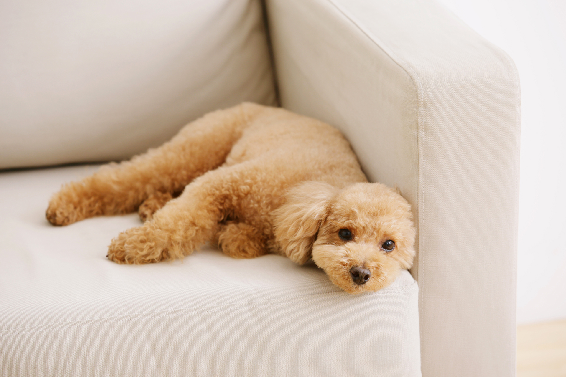 blonde toy poodle resting on sofa