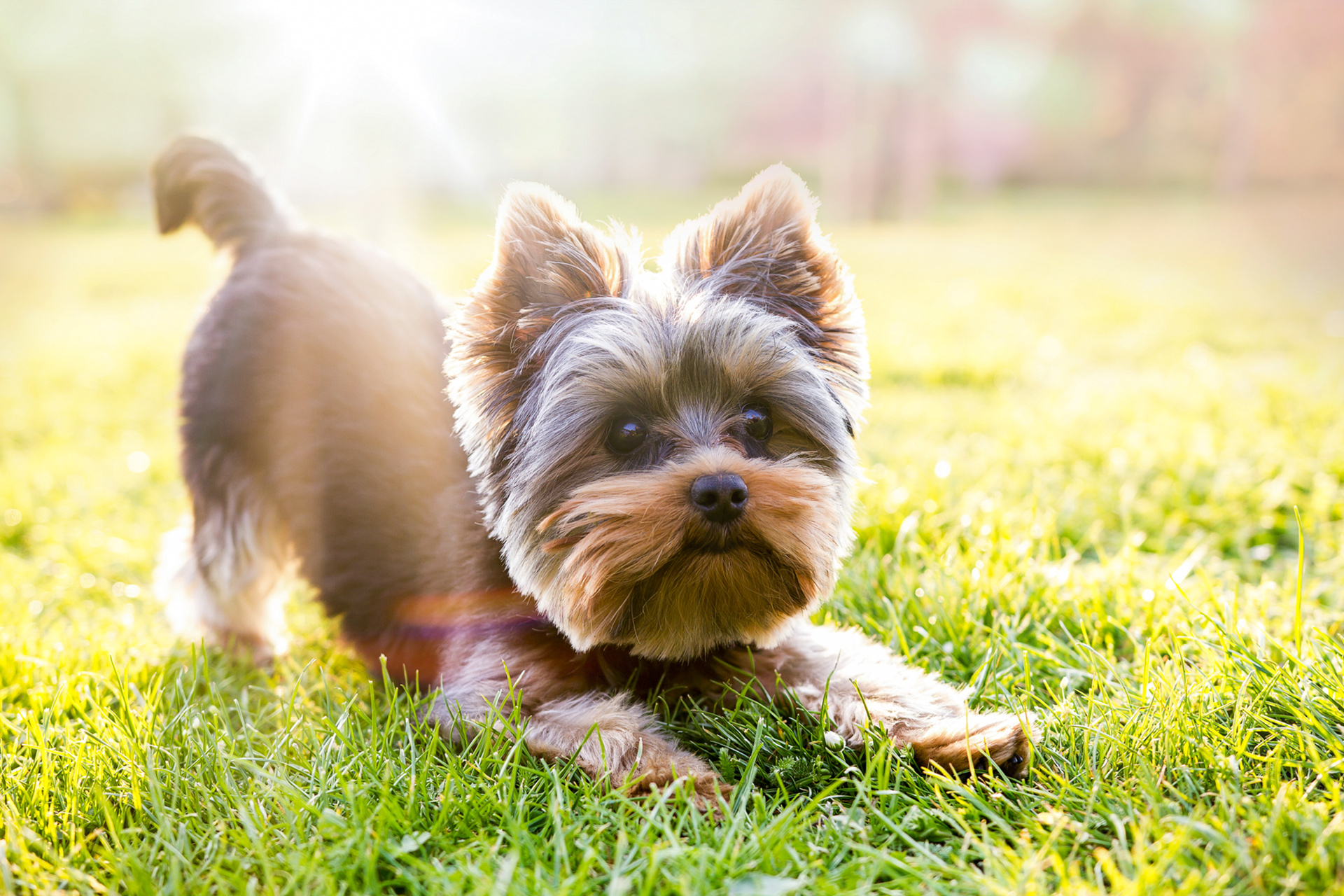 playful yorkshire terrier in grass