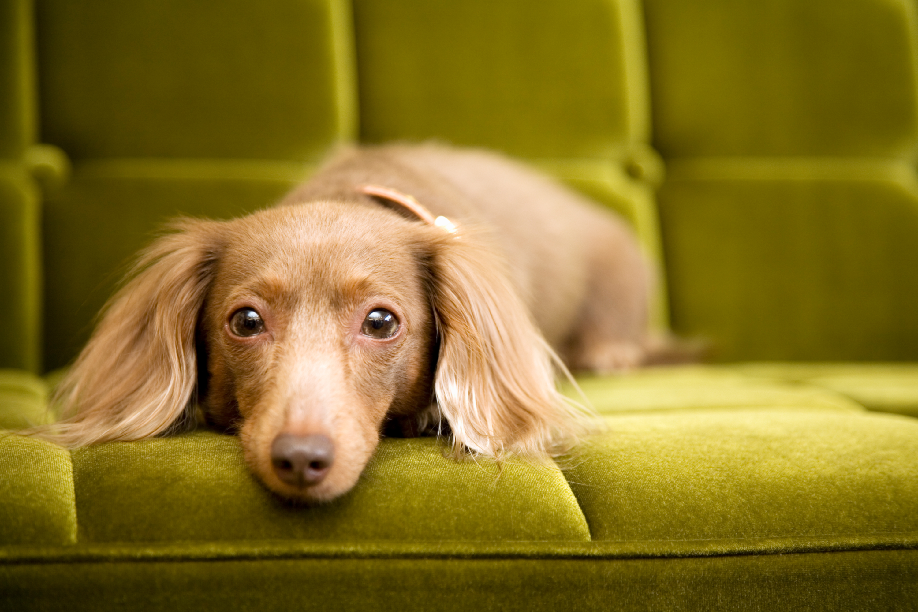 dachshund dog laying on green couch