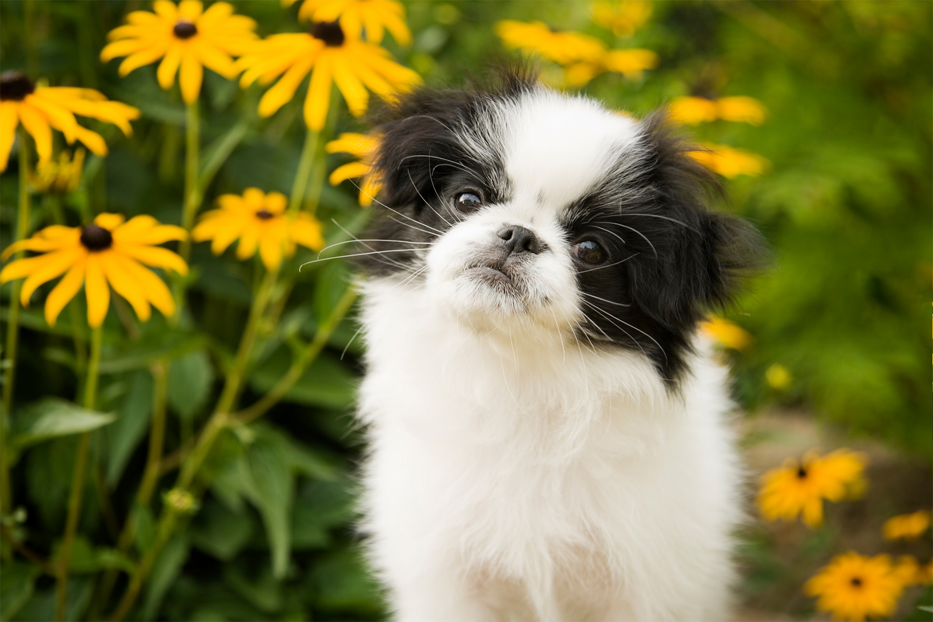 japanese chin dog in front of black eyed susans
