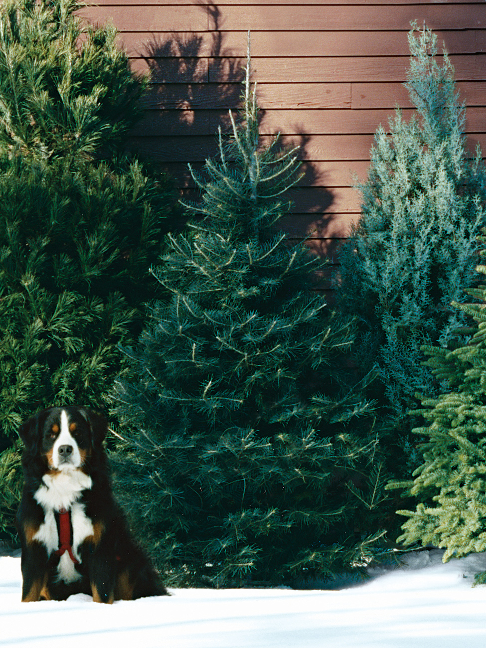 A Guide To All The Different Types Of Christmas Trees