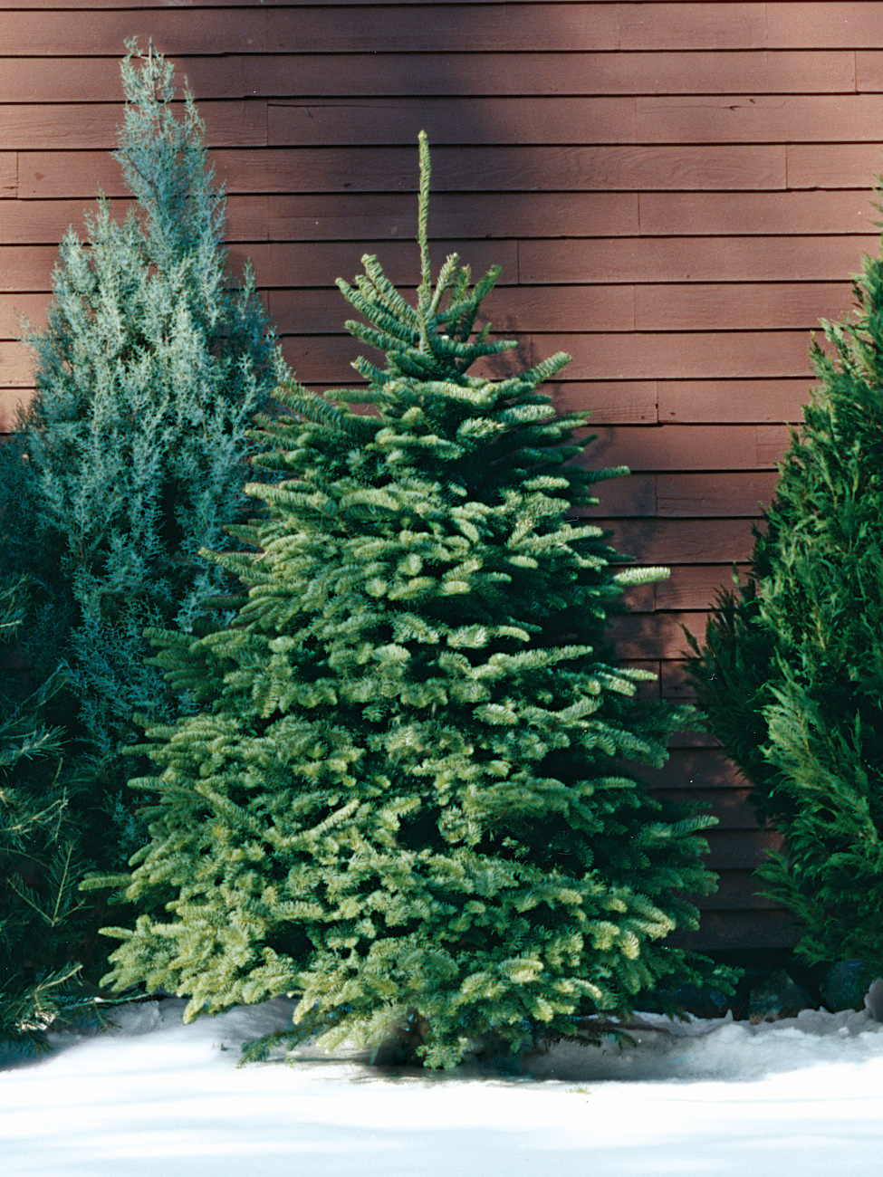 My Christmas Tree Isn T Drinking Water.A Guide To All The Different Types Of Christmas Trees