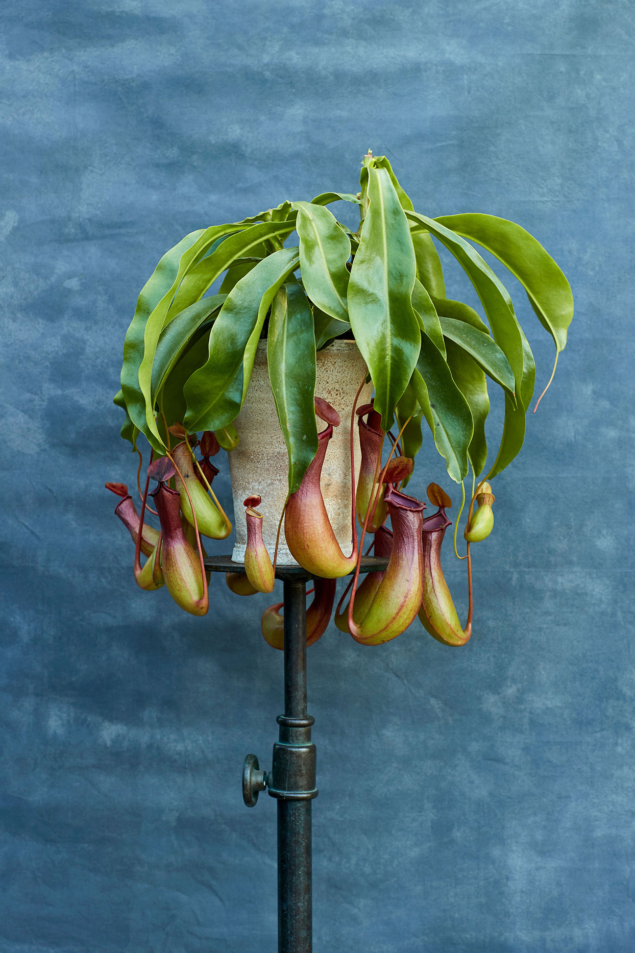 nepenthes alata plant against blue background