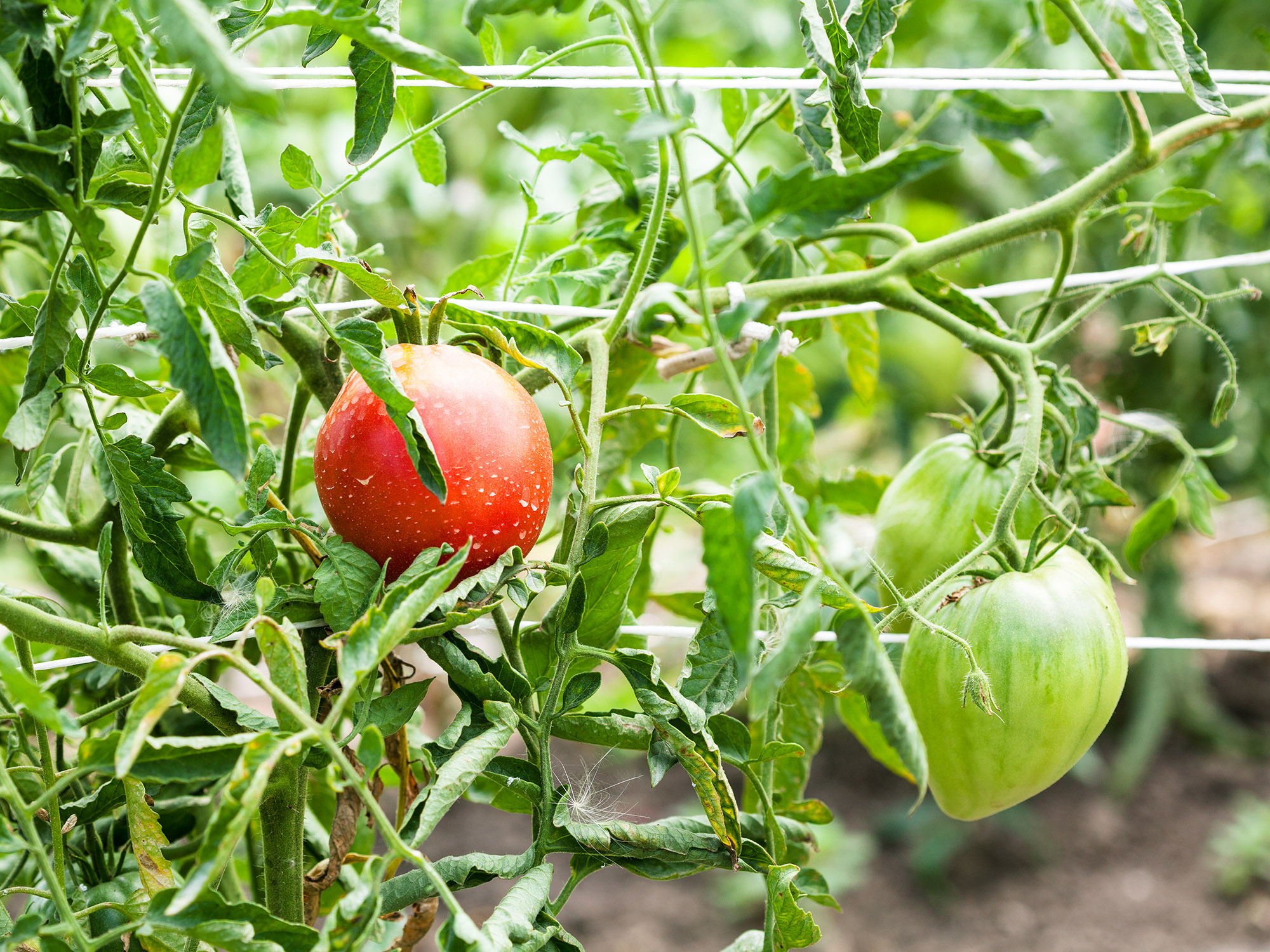 bushes with tomato fruits on ropes in garden