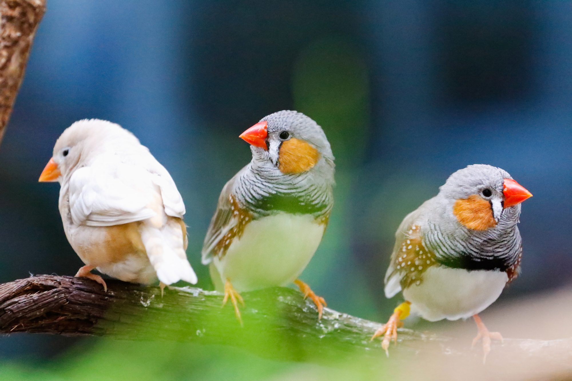 Songbirds Aren't Singing the Same Tune: Researchers Suggest Each Bird's Song Is Determined by Genetics