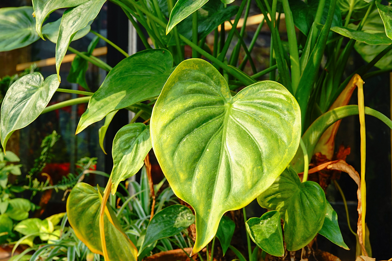 How To Grow And Care For Elephant Ear Plants Martha Stewart