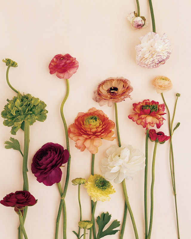 Colorful Ranunculus