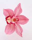wa98432_sp03_pinkorchid_m.jpg