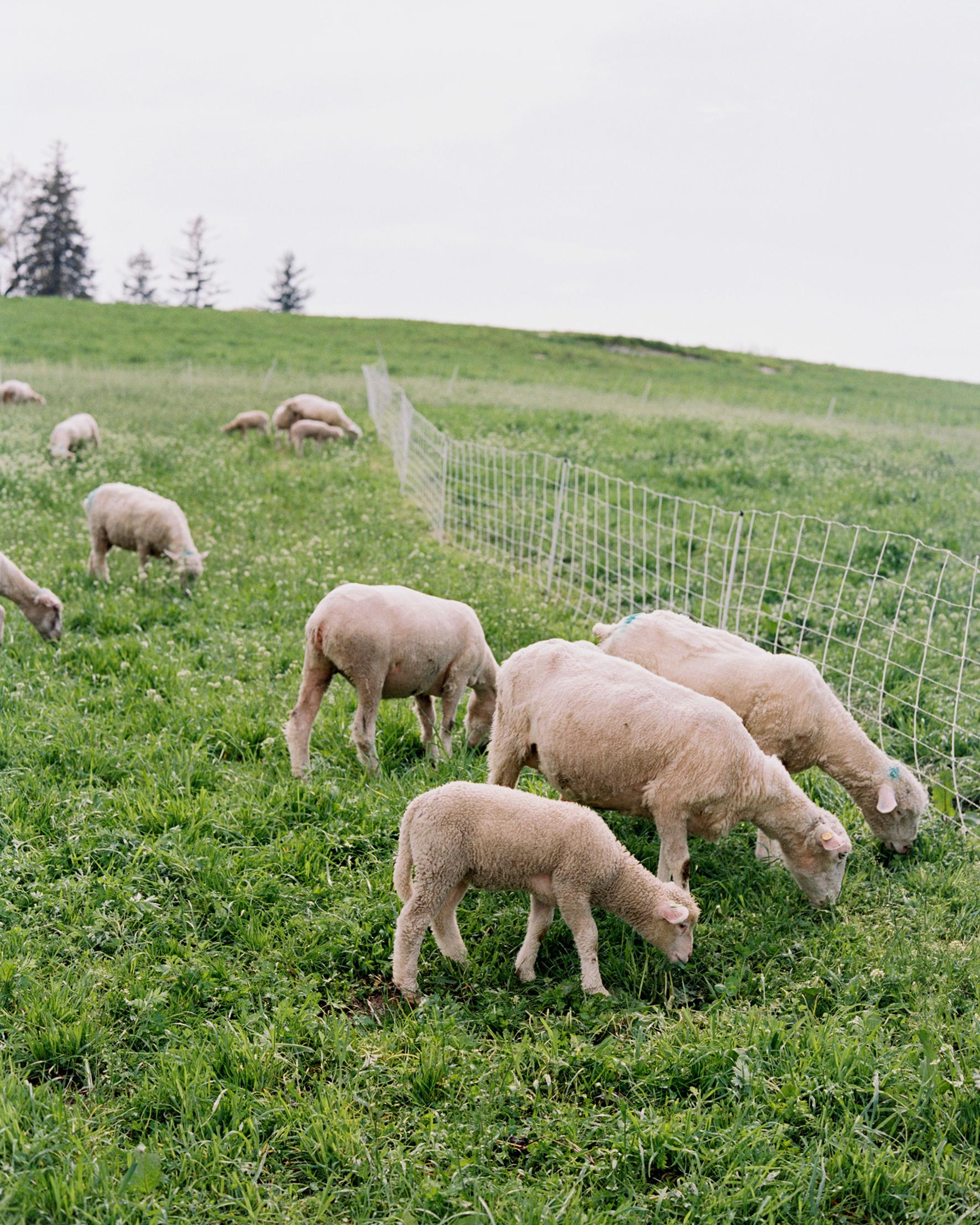 sydney-christina-wedding-sheep-006-s111743-0115.jpg