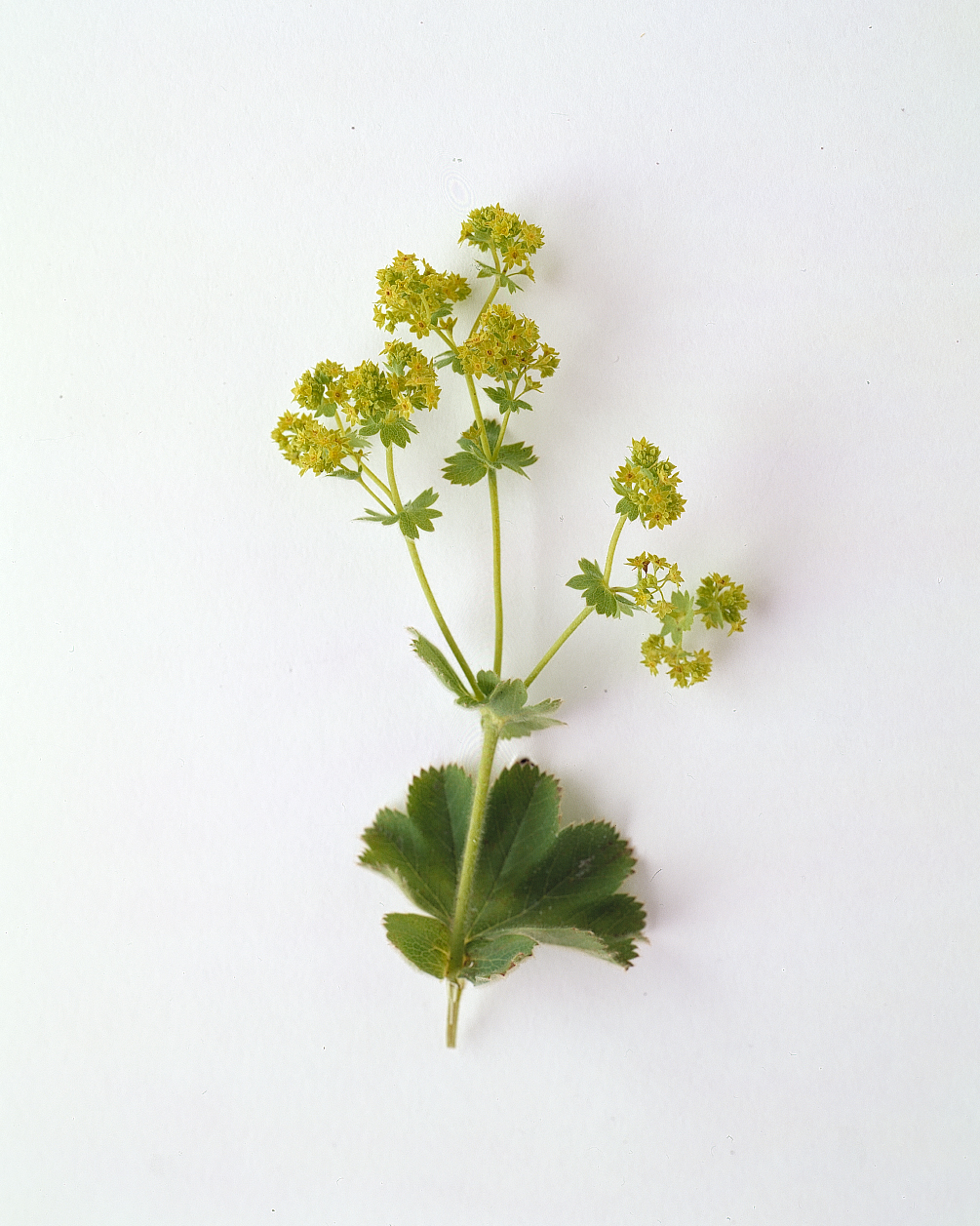 flower-glossary-ladysmantle-a98432-0415.jpg