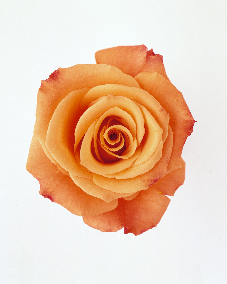 flower-glossary-rose-orange-unique-a98432-0415.jpg